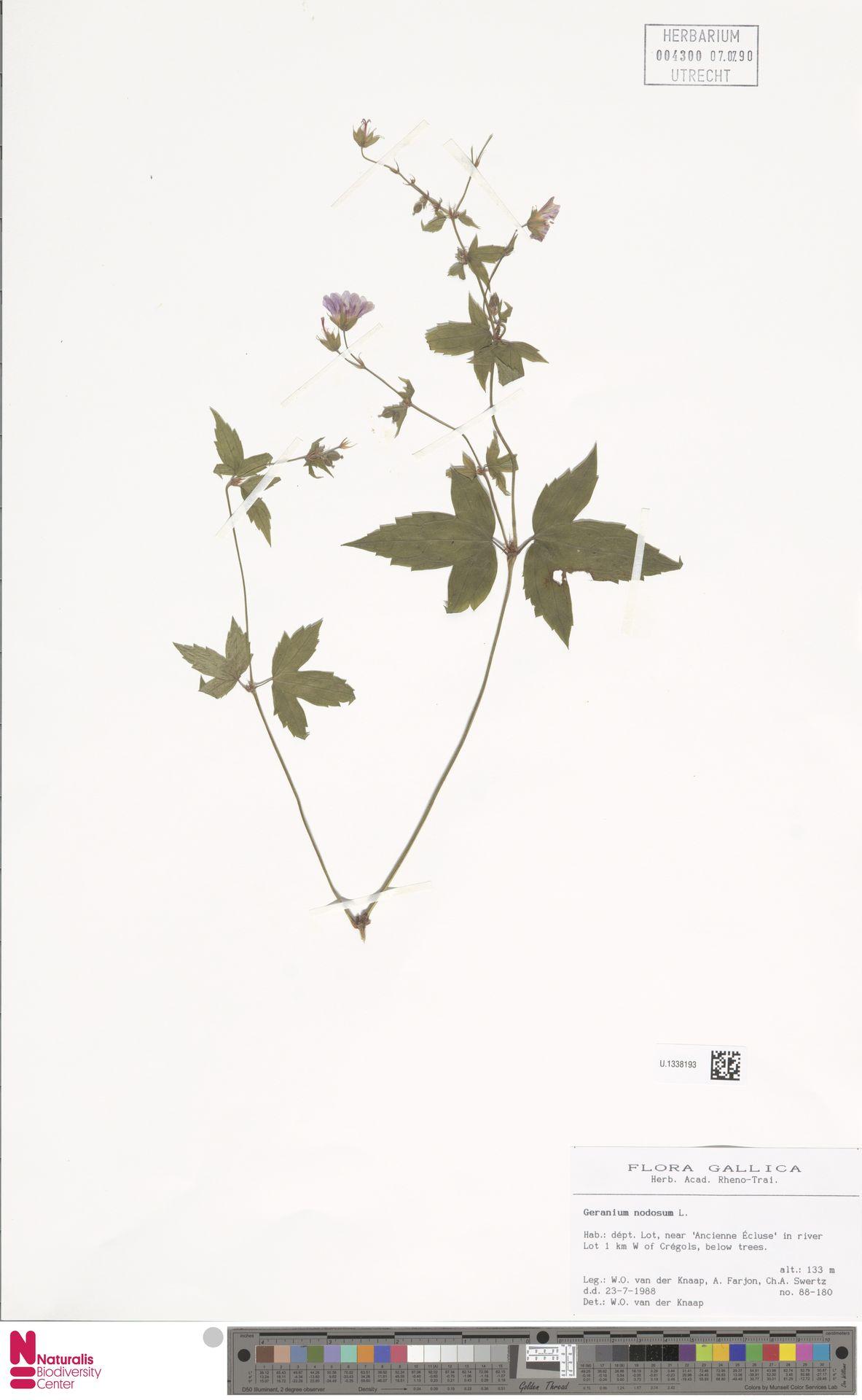 U.1338193 | Geranium nodosum L.
