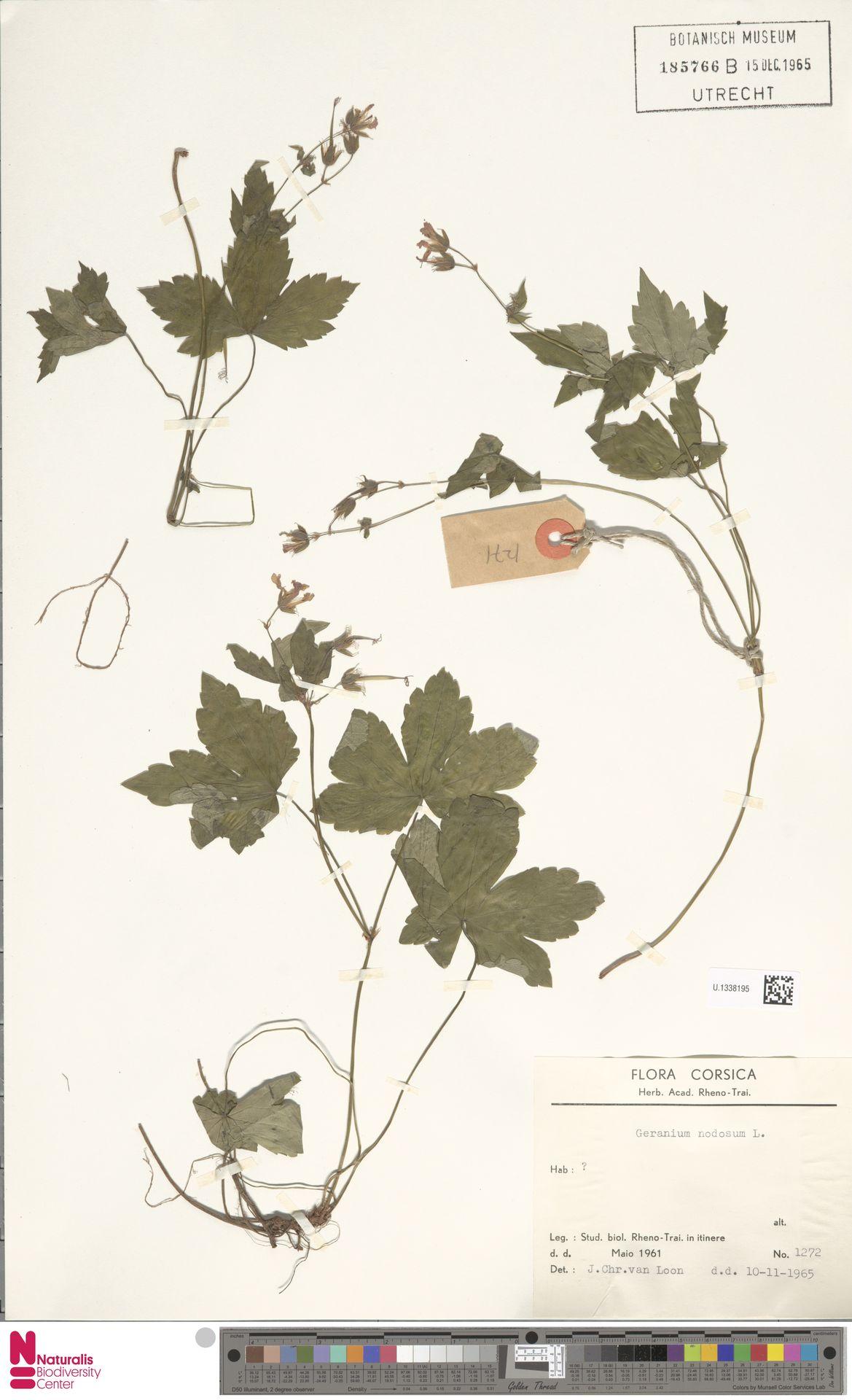 U.1338195 | Geranium nodosum L.