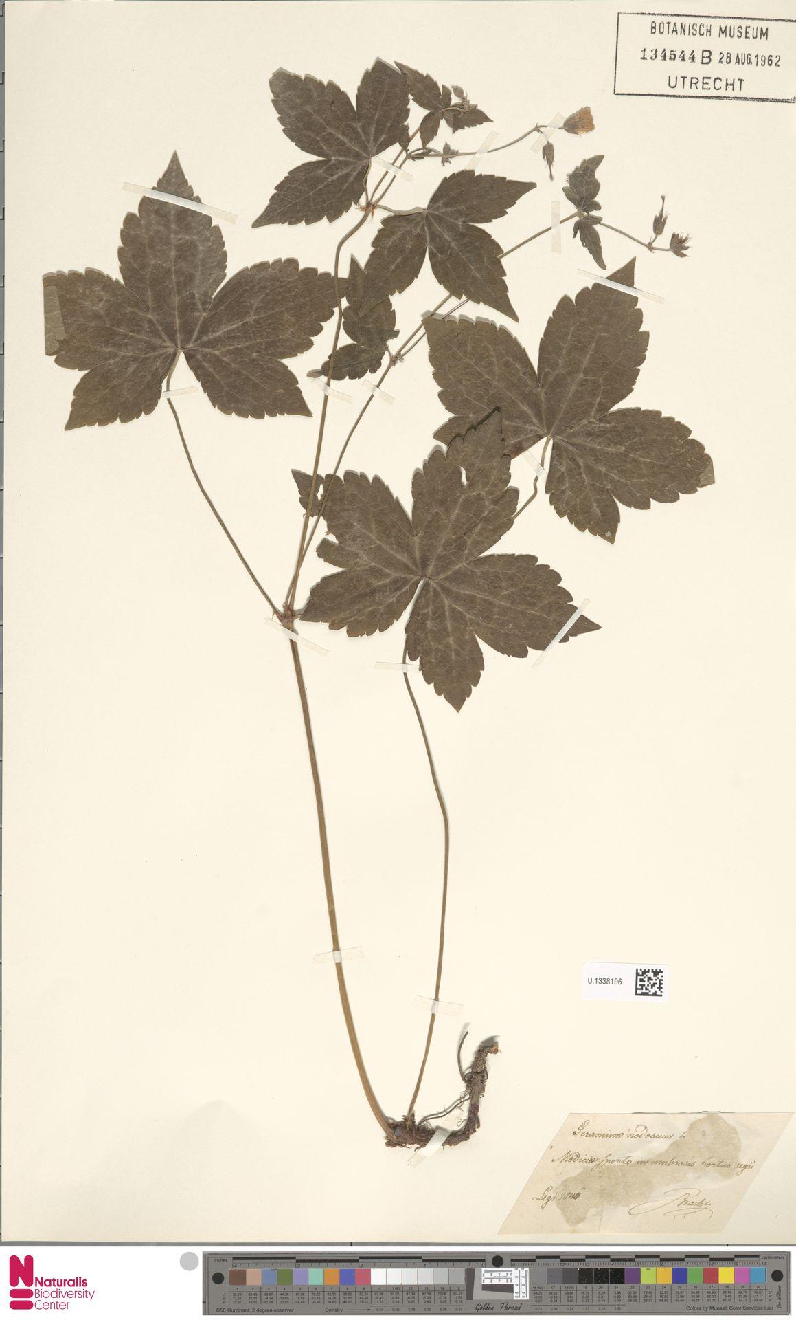 U.1338196 | Geranium nodosum L.