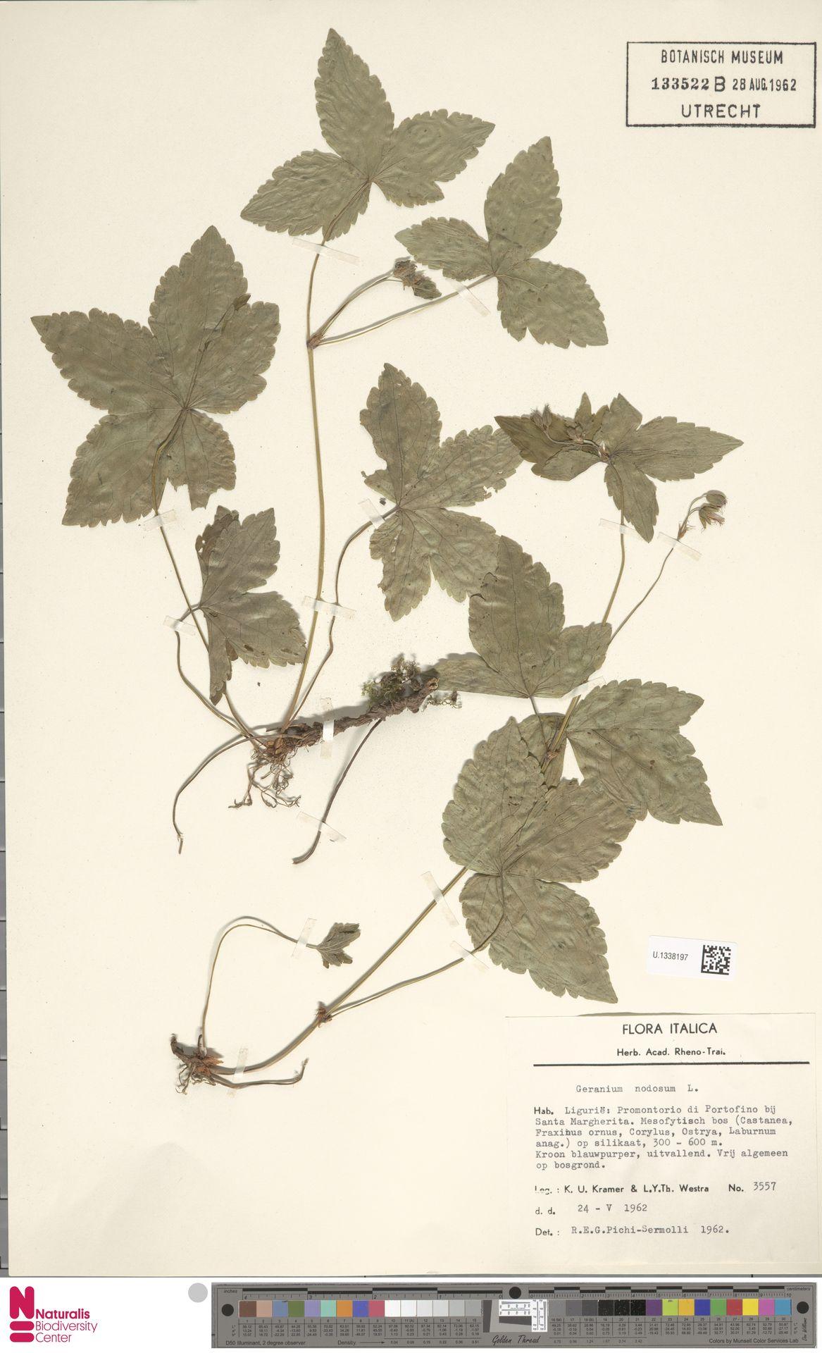 U.1338197 | Geranium nodosum L.
