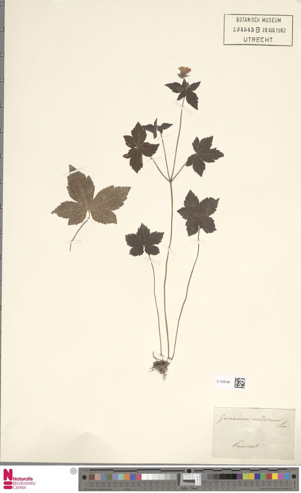 U.1338198 | Geranium nodosum L.