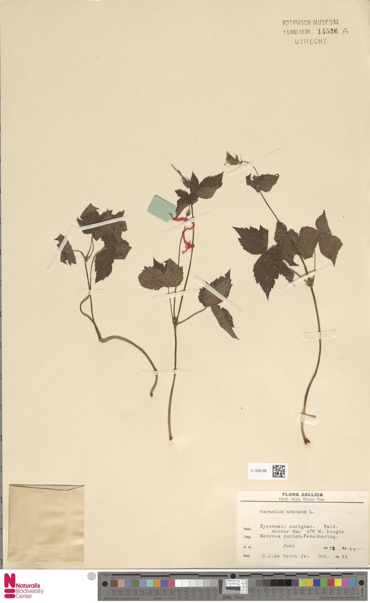 U.1338199 | Geranium nodosum L.
