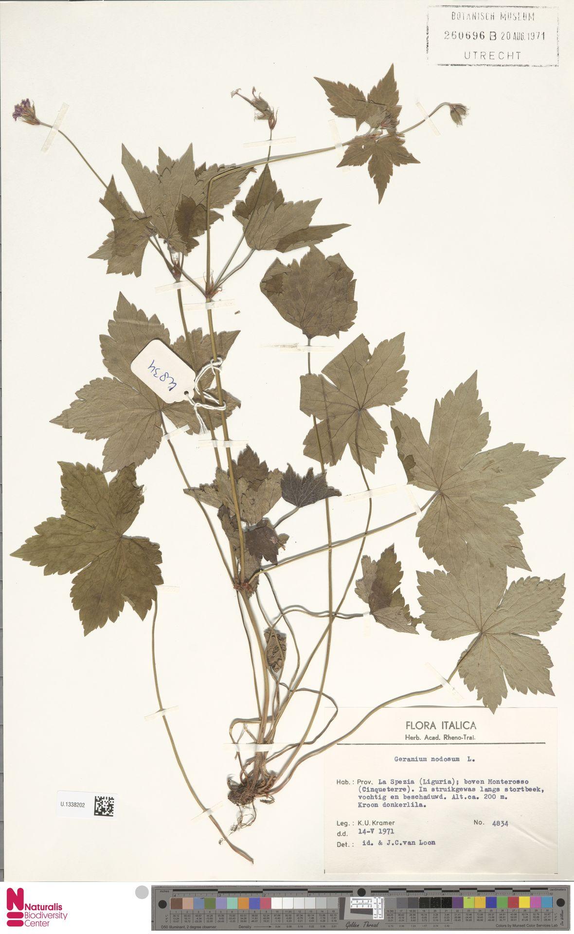 U.1338202 | Geranium nodosum L.
