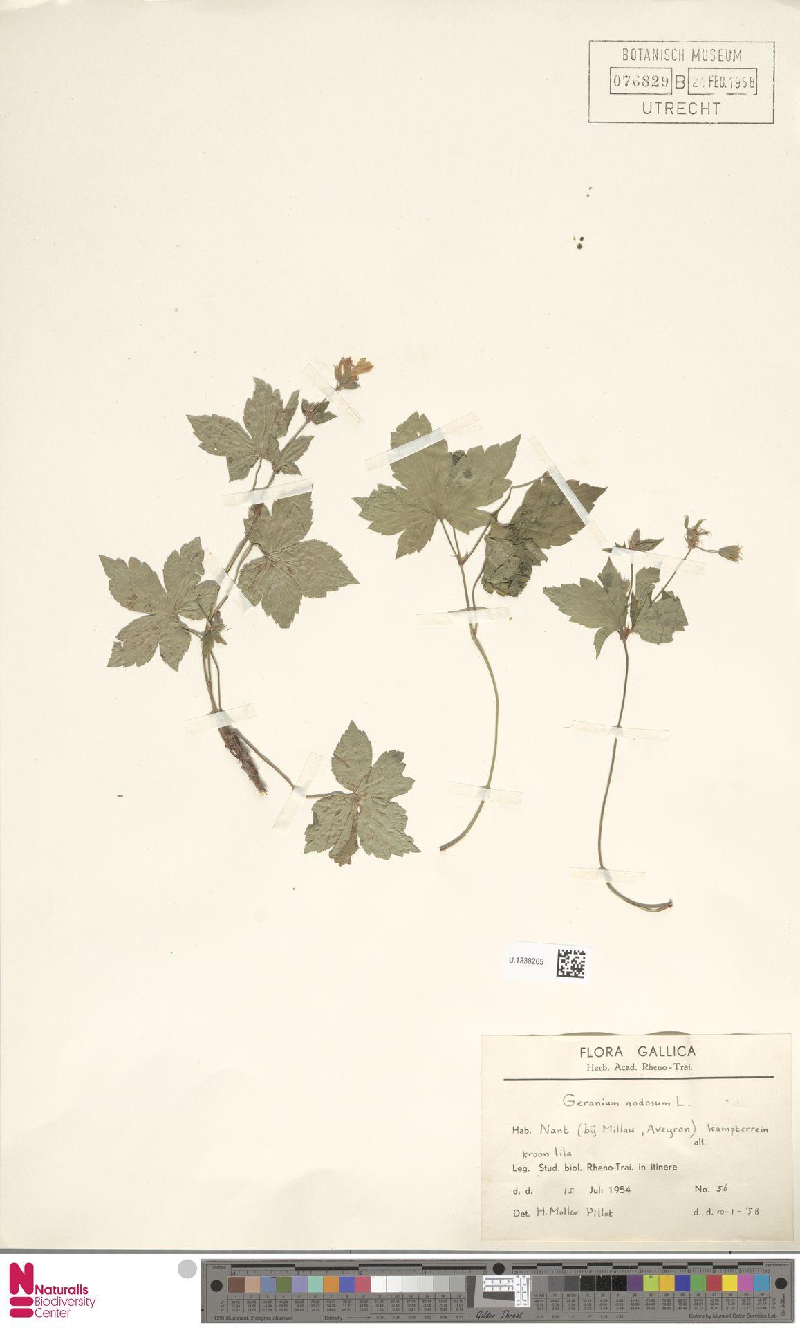 U.1338205 | Geranium nodosum L.