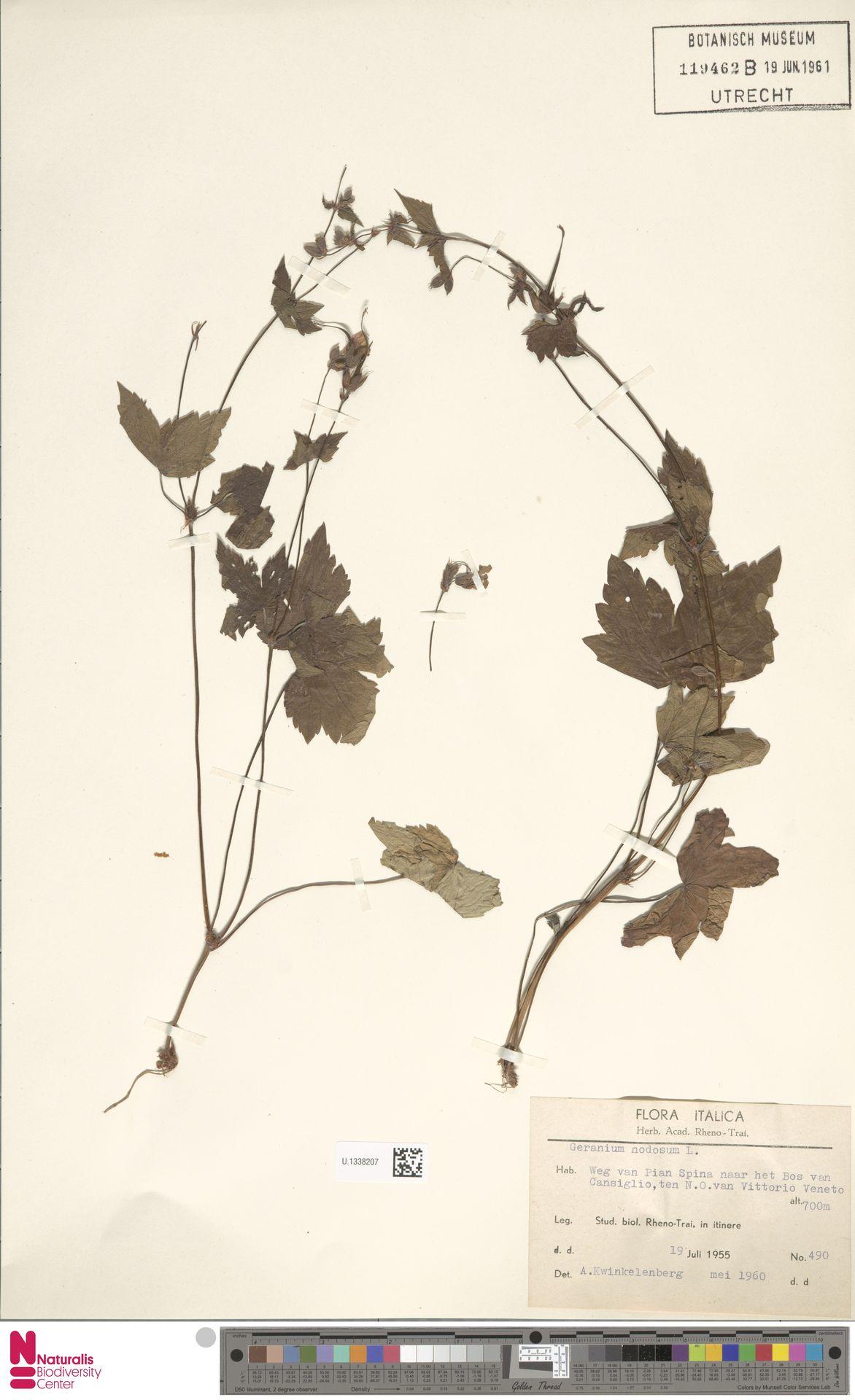 U.1338207 | Geranium nodosum L.