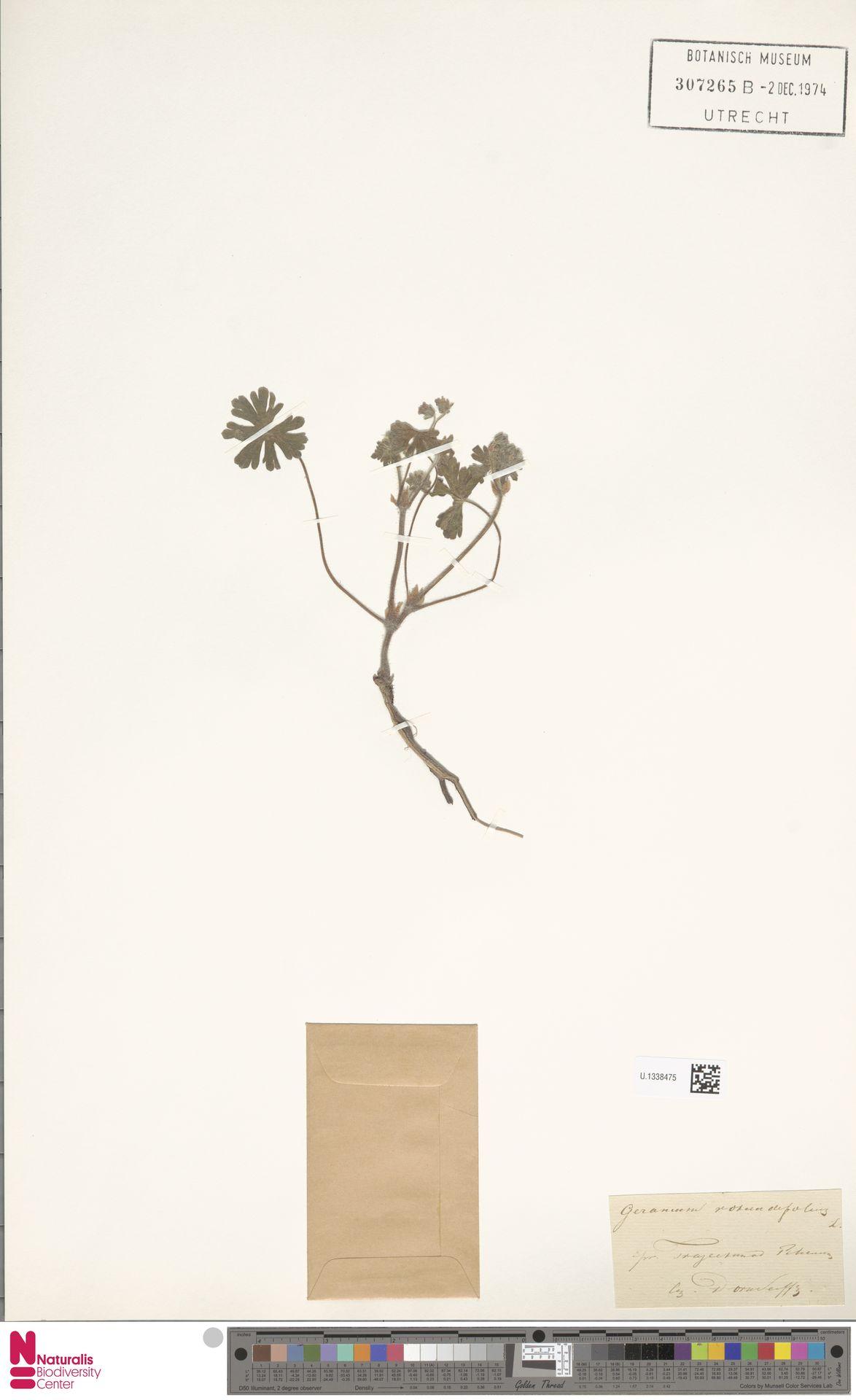 U.1338475 | Geranium rotundifolium L.