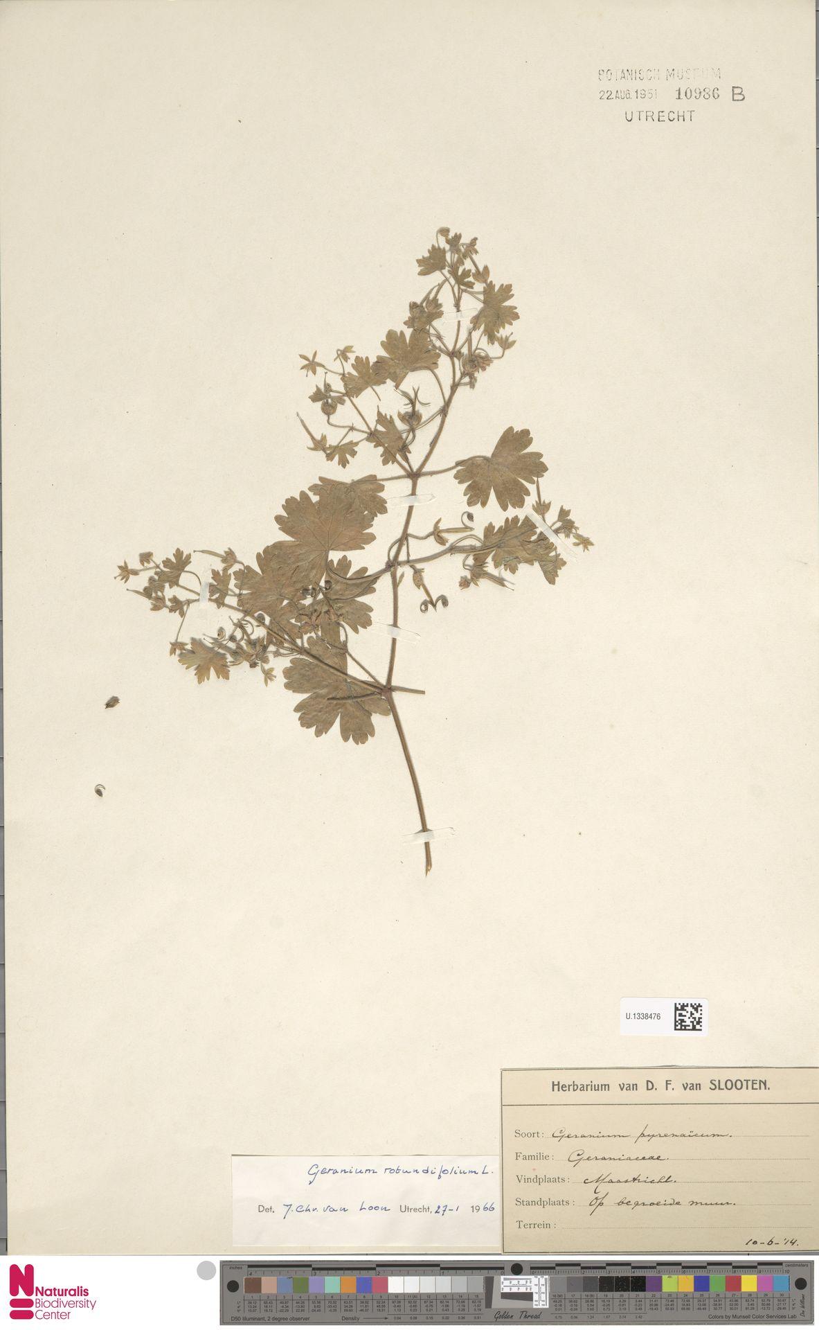 U.1338476 | Geranium rotundifolium L.