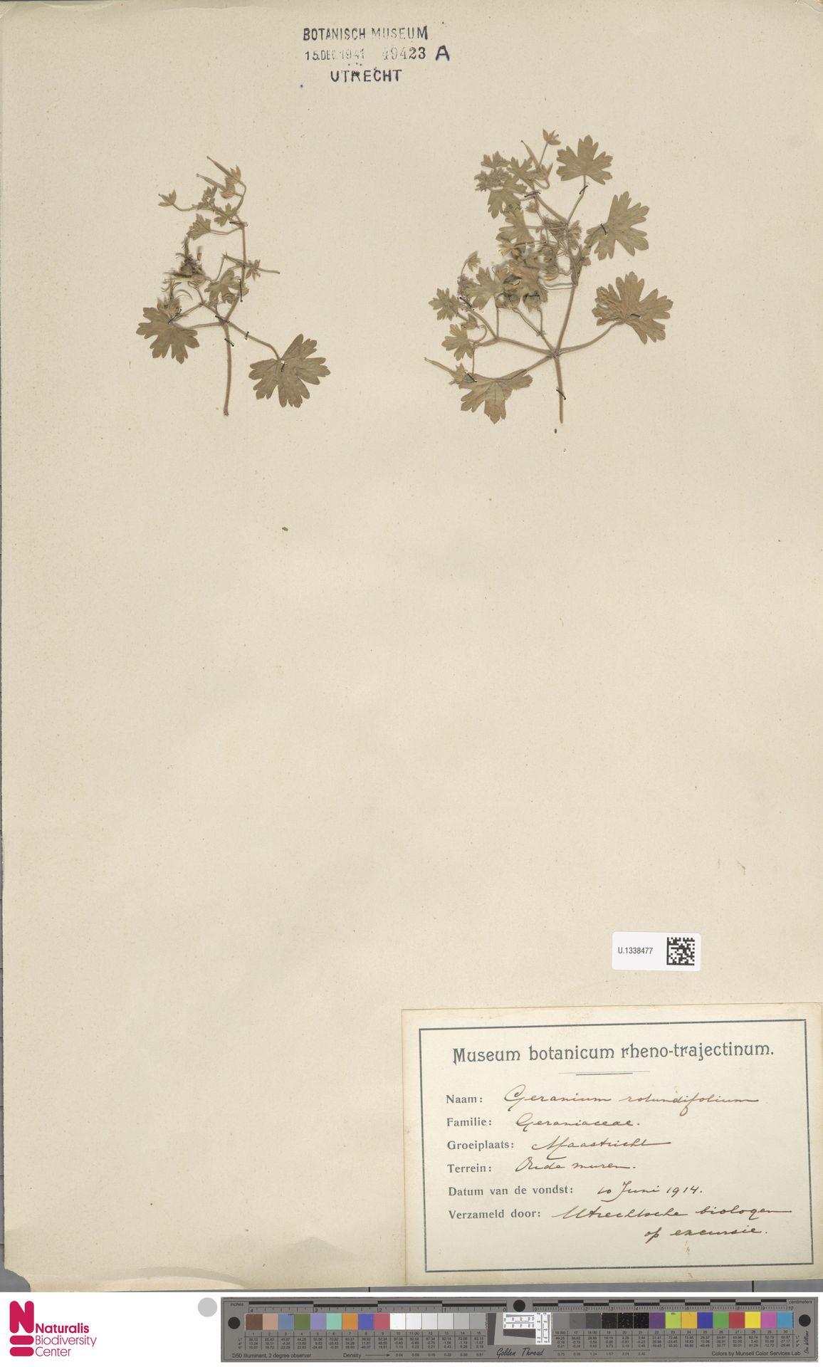 U.1338477 | Geranium rotundifolium L.