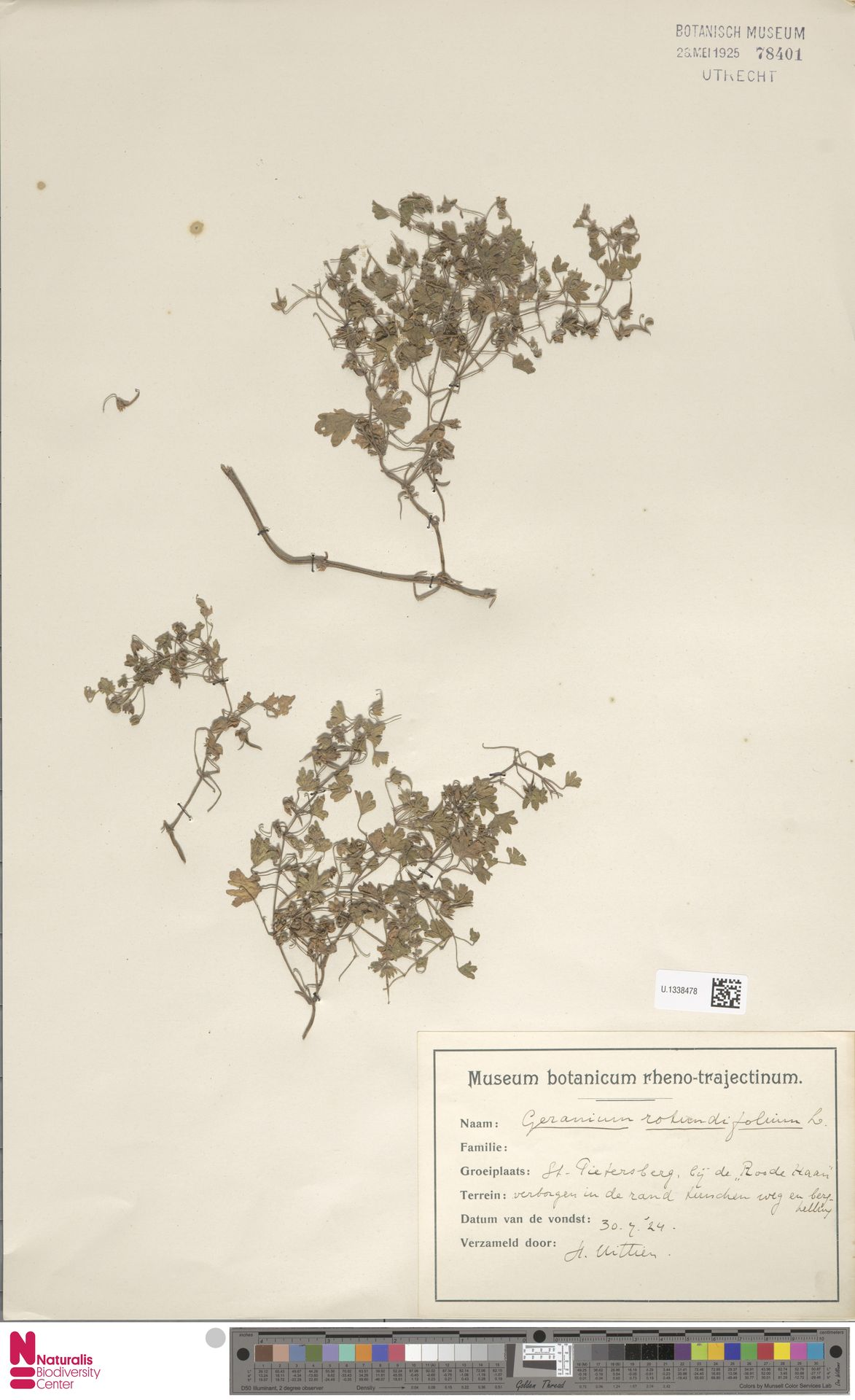 U.1338478 | Geranium rotundifolium L.
