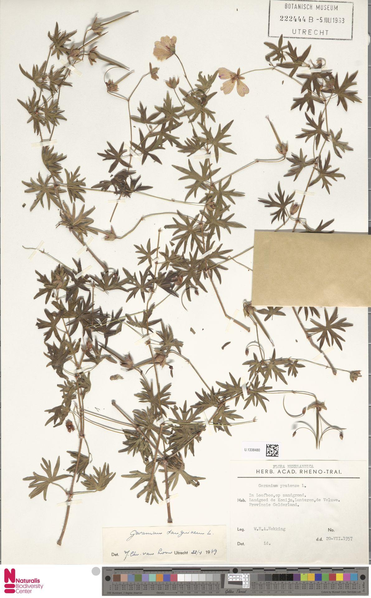 U.1338480   Geranium sanguineum L.