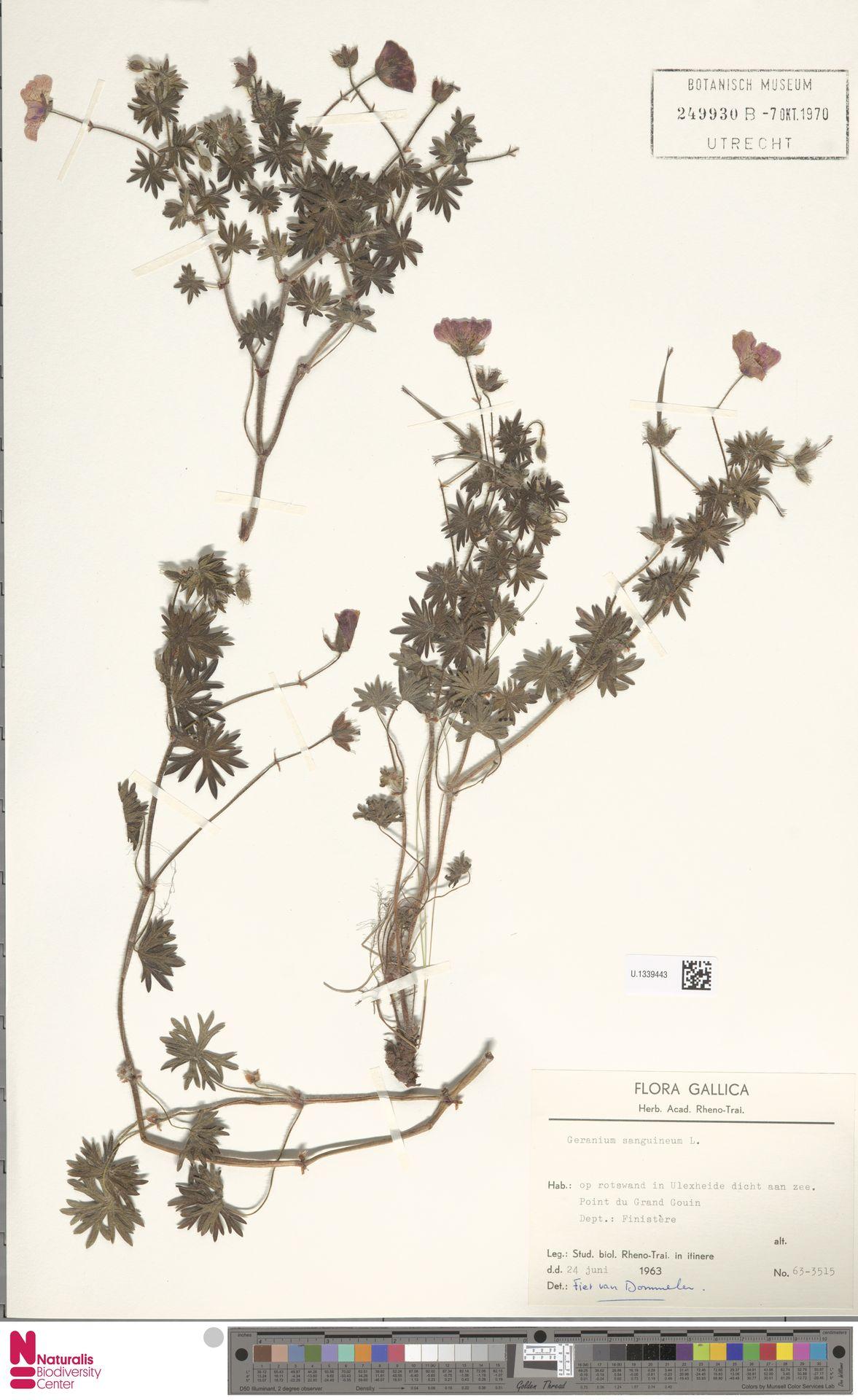 U.1339443 | Geranium sanguineum L.