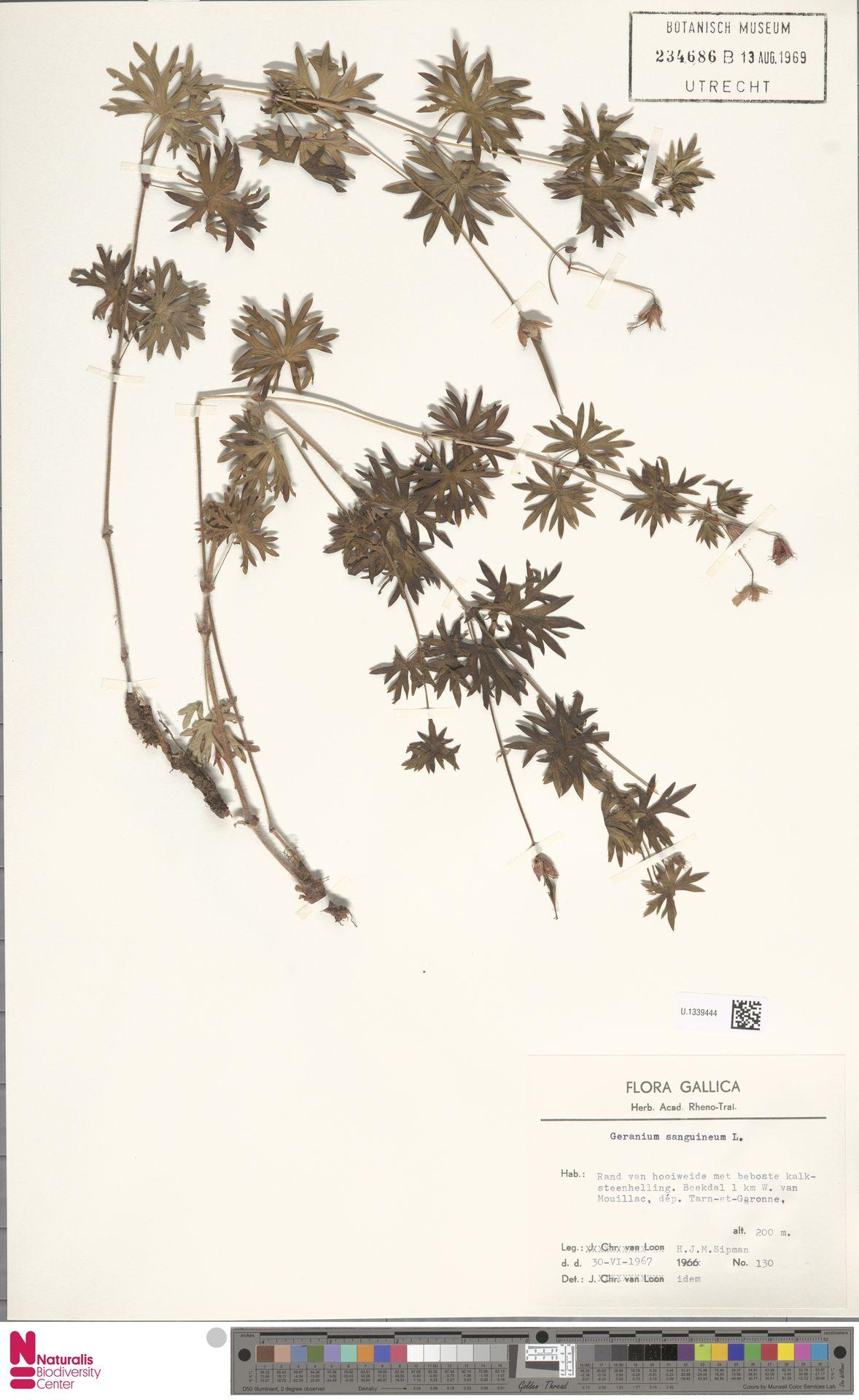 U.1339444 | Geranium sanguineum L.