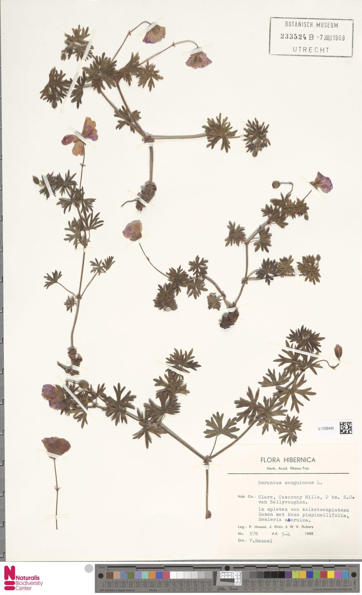 U.1339445 | Geranium sanguineum L.