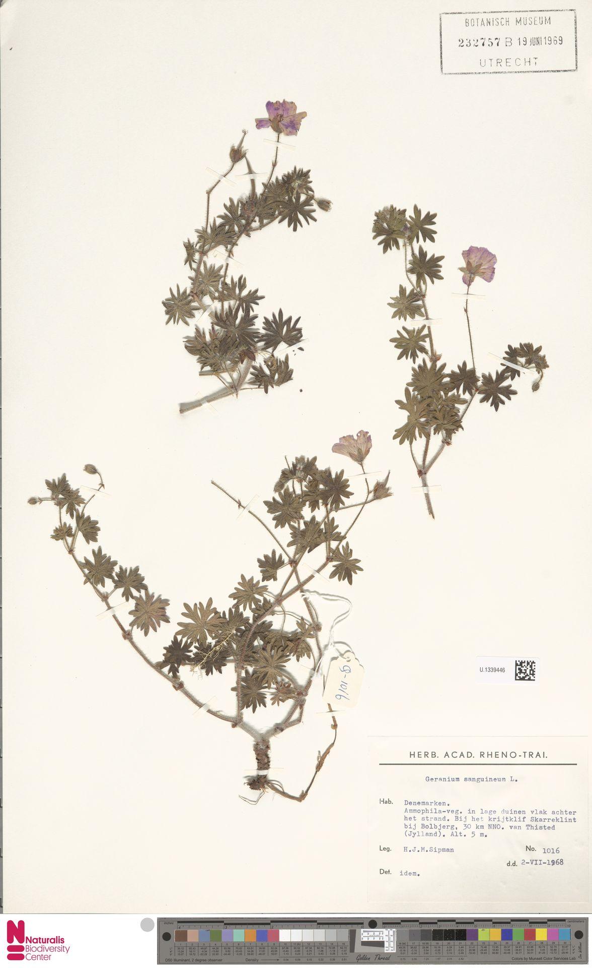 U.1339446 | Geranium sanguineum L.
