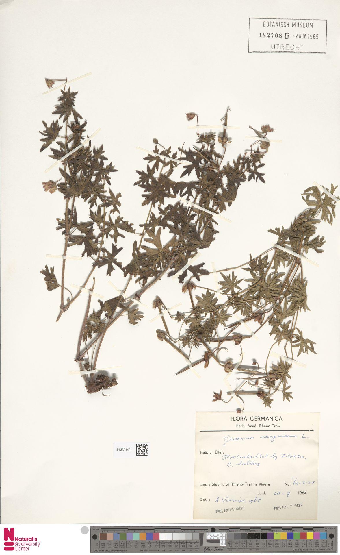 U.1339449   Geranium sanguineum L.