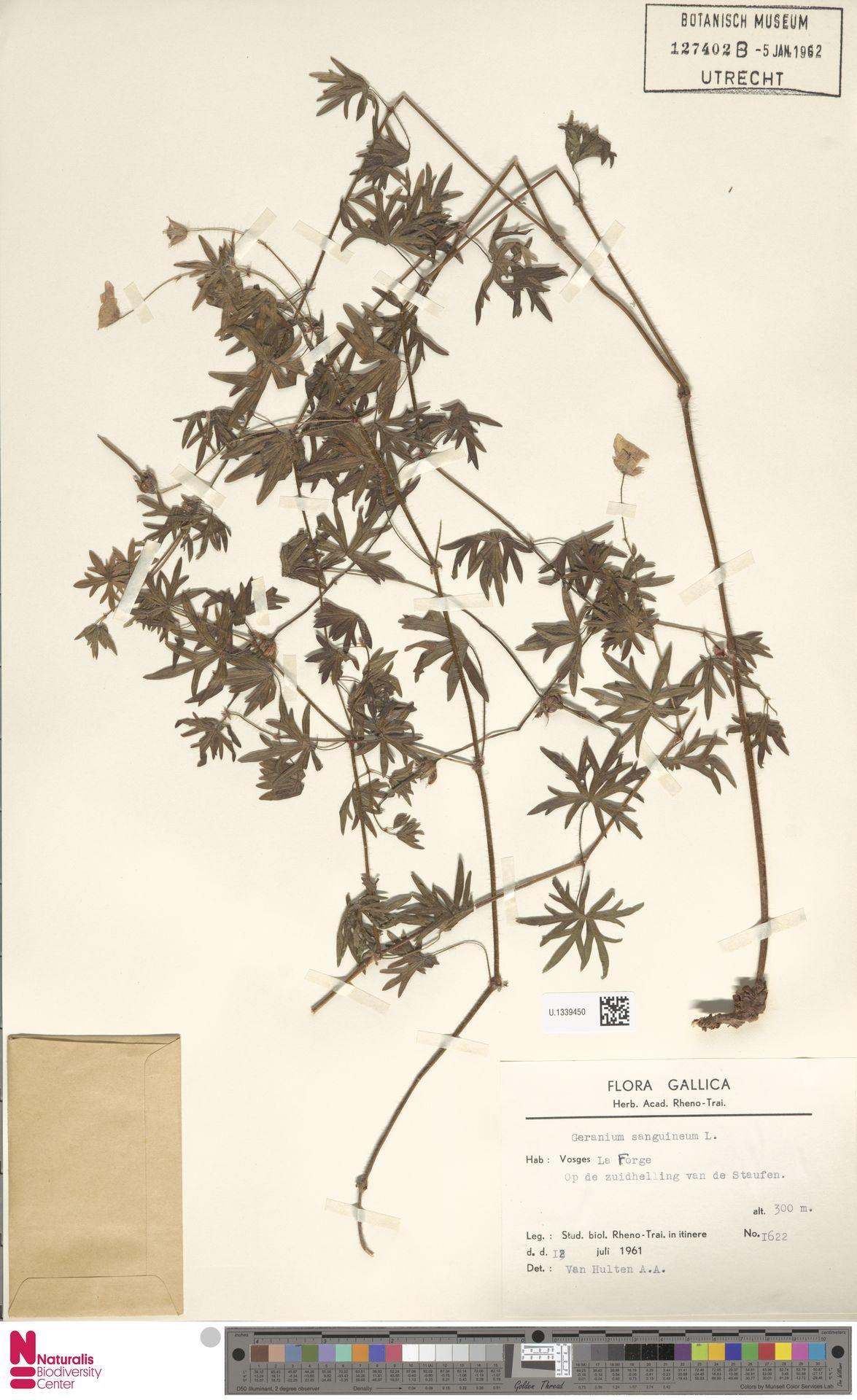 U.1339450   Geranium sanguineum L.