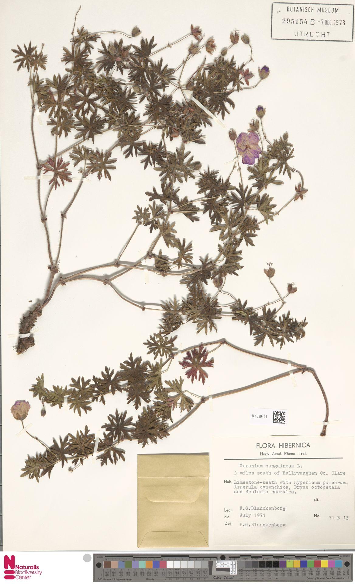 U.1339454 | Geranium sanguineum L.