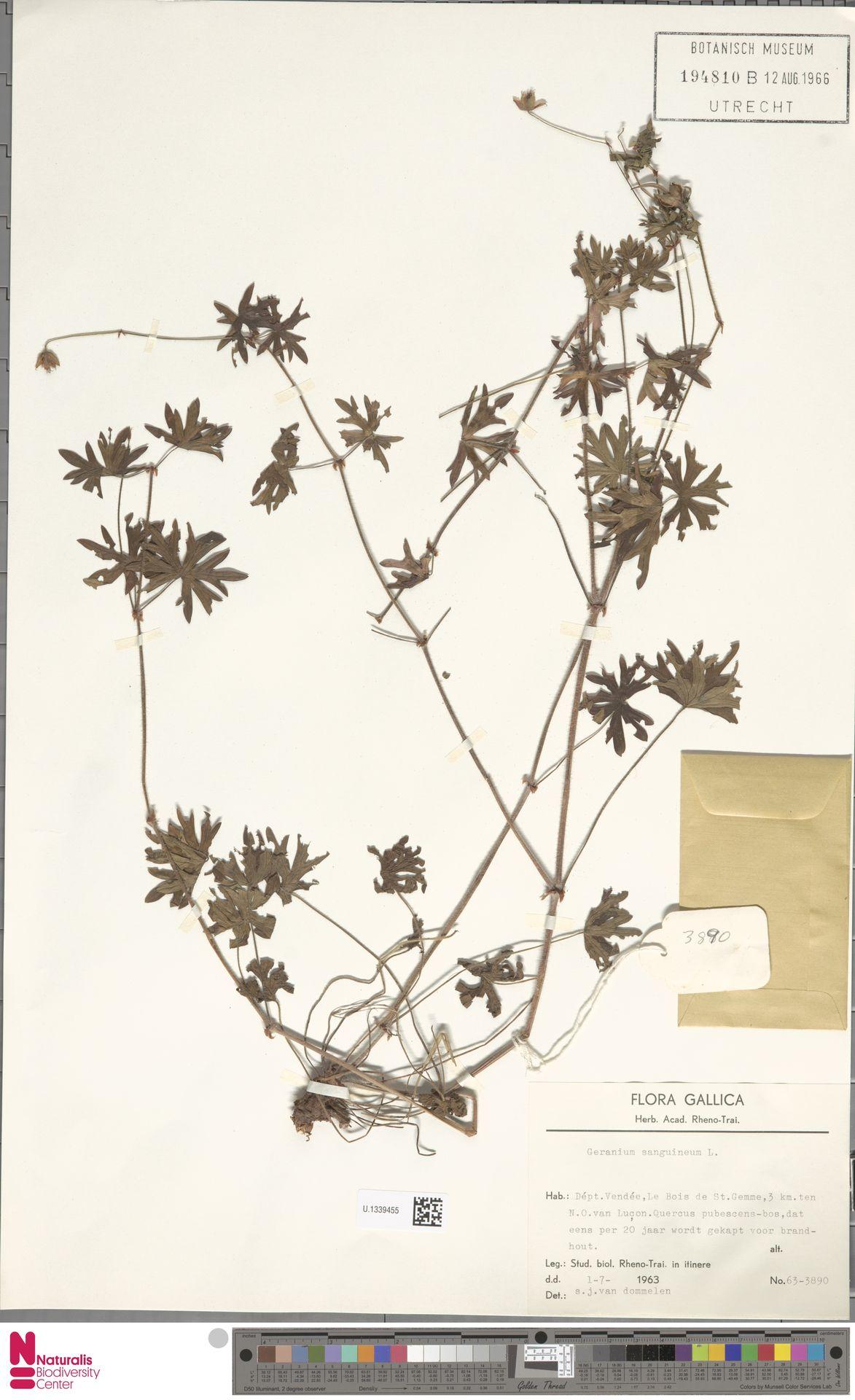 U.1339455 | Geranium sanguineum L.