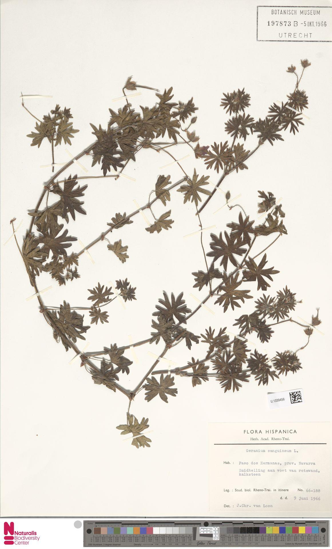 U.1339456 | Geranium sanguineum L.