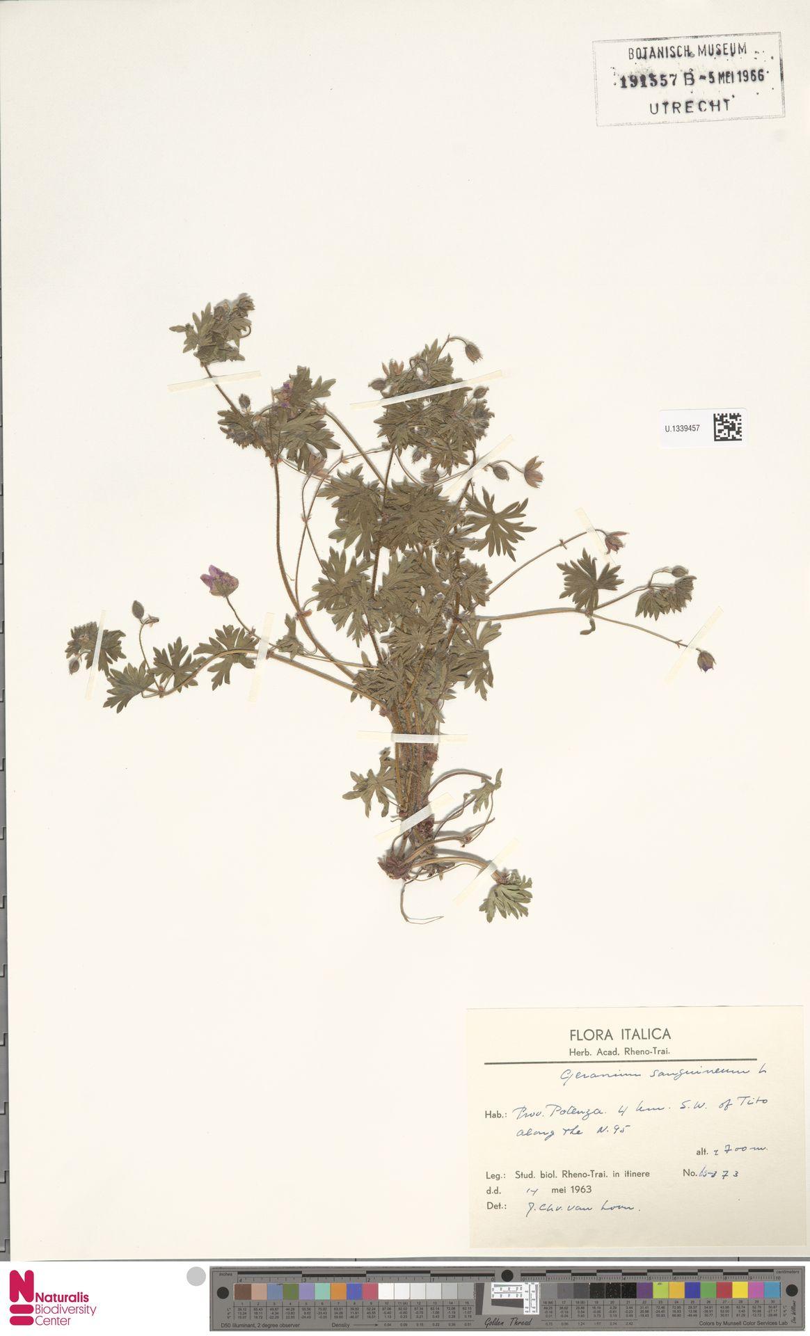 U.1339457   Geranium sanguineum L.