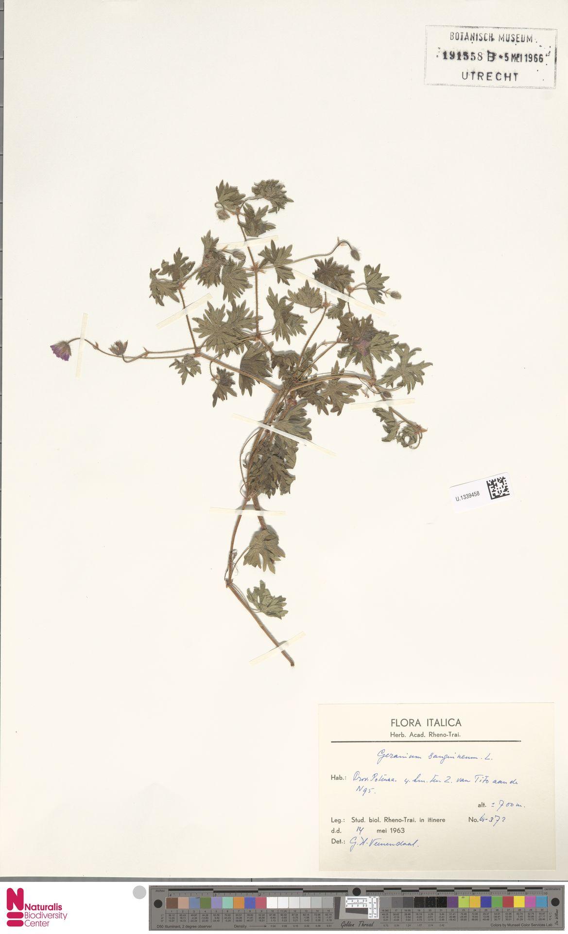 U.1339458   Geranium sanguineum L.