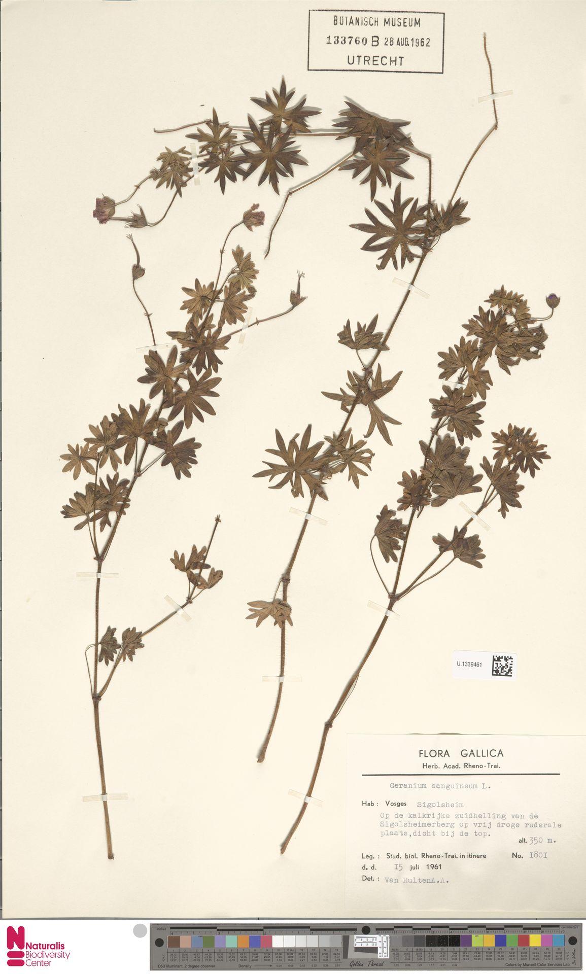 U.1339461 | Geranium sanguineum L.