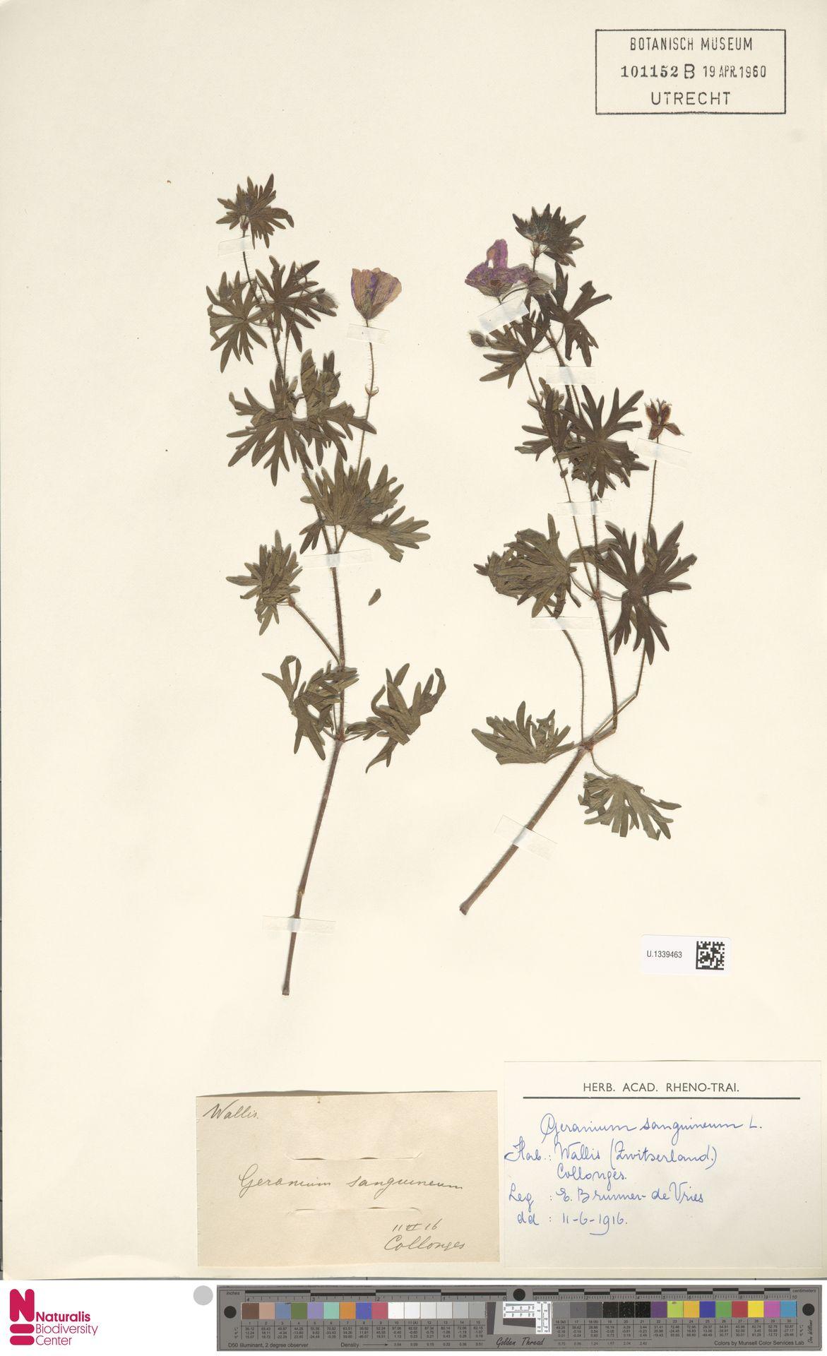 U.1339463 | Geranium sanguineum L.