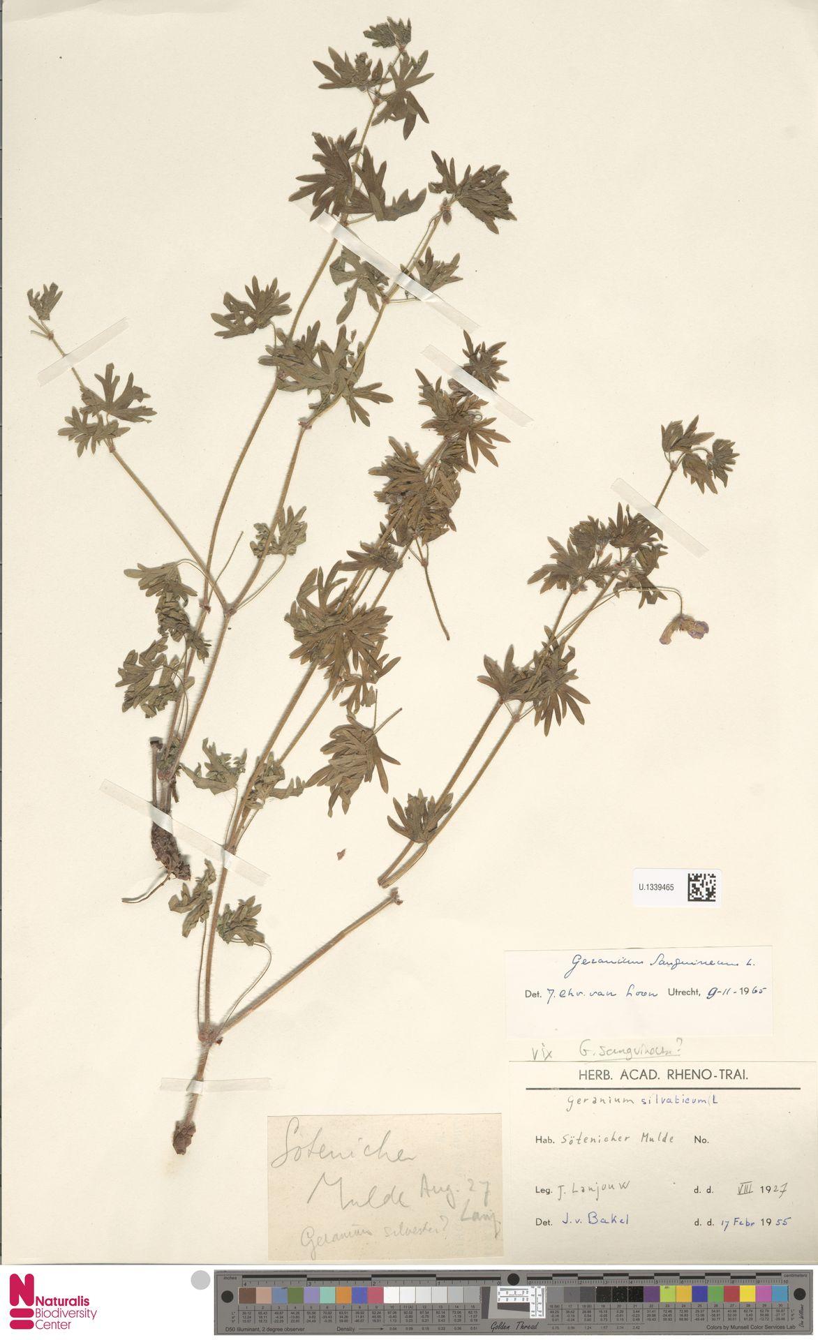 U.1339465   Geranium sanguineum L.