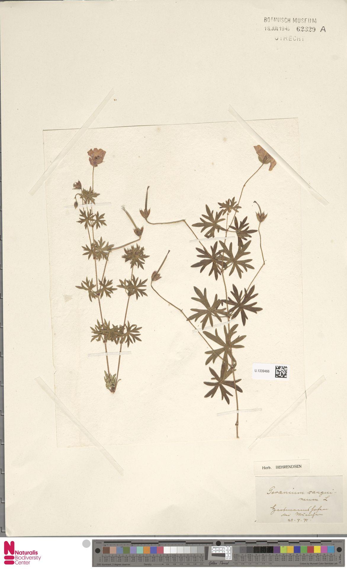 U.1339466 | Geranium sanguineum L.