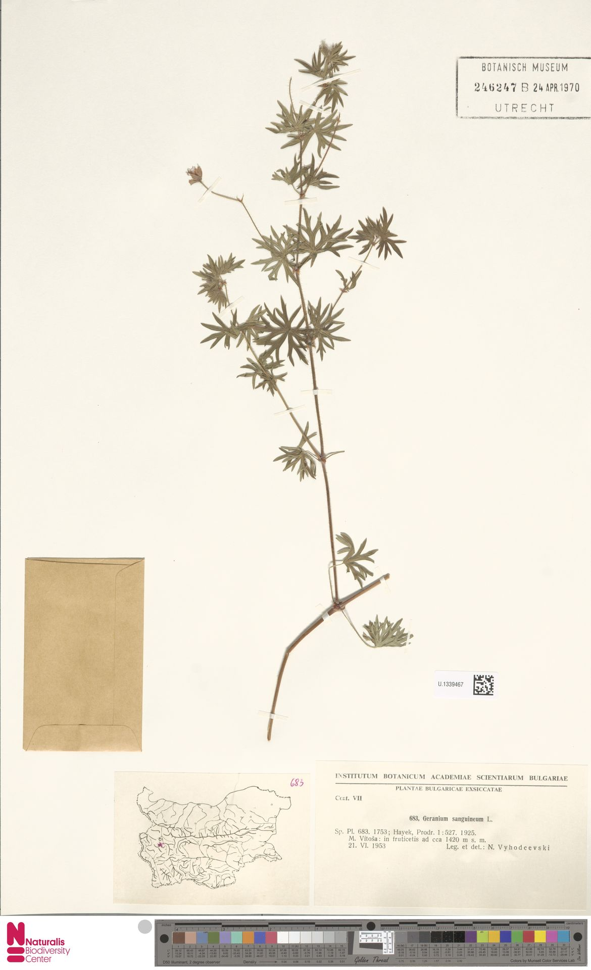 U.1339467 | Geranium sanguineum L.