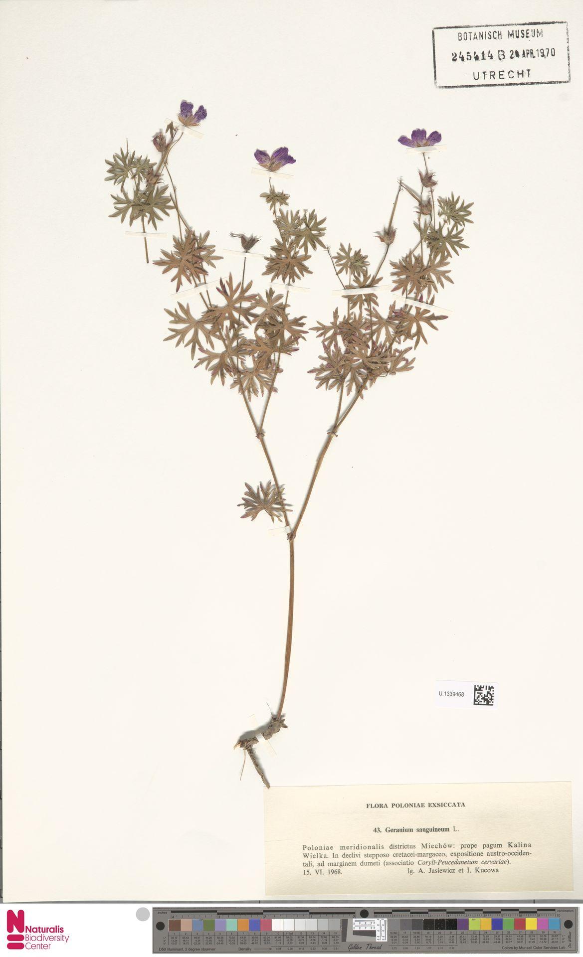 U.1339468 | Geranium sanguineum L.