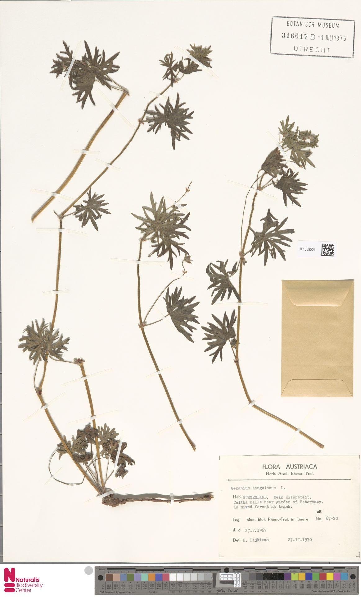 U.1339509   Geranium sanguineum L.