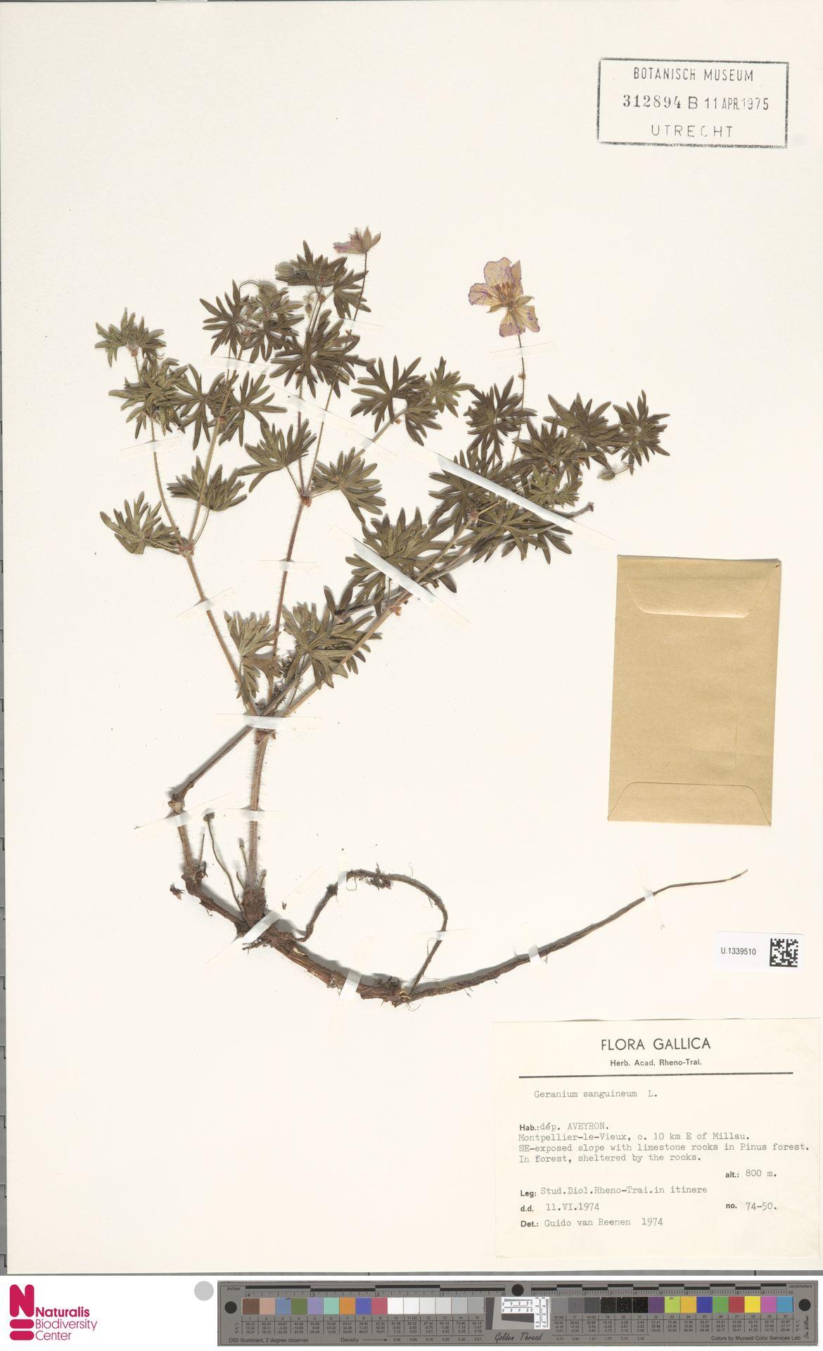 U.1339510 | Geranium sanguineum L.