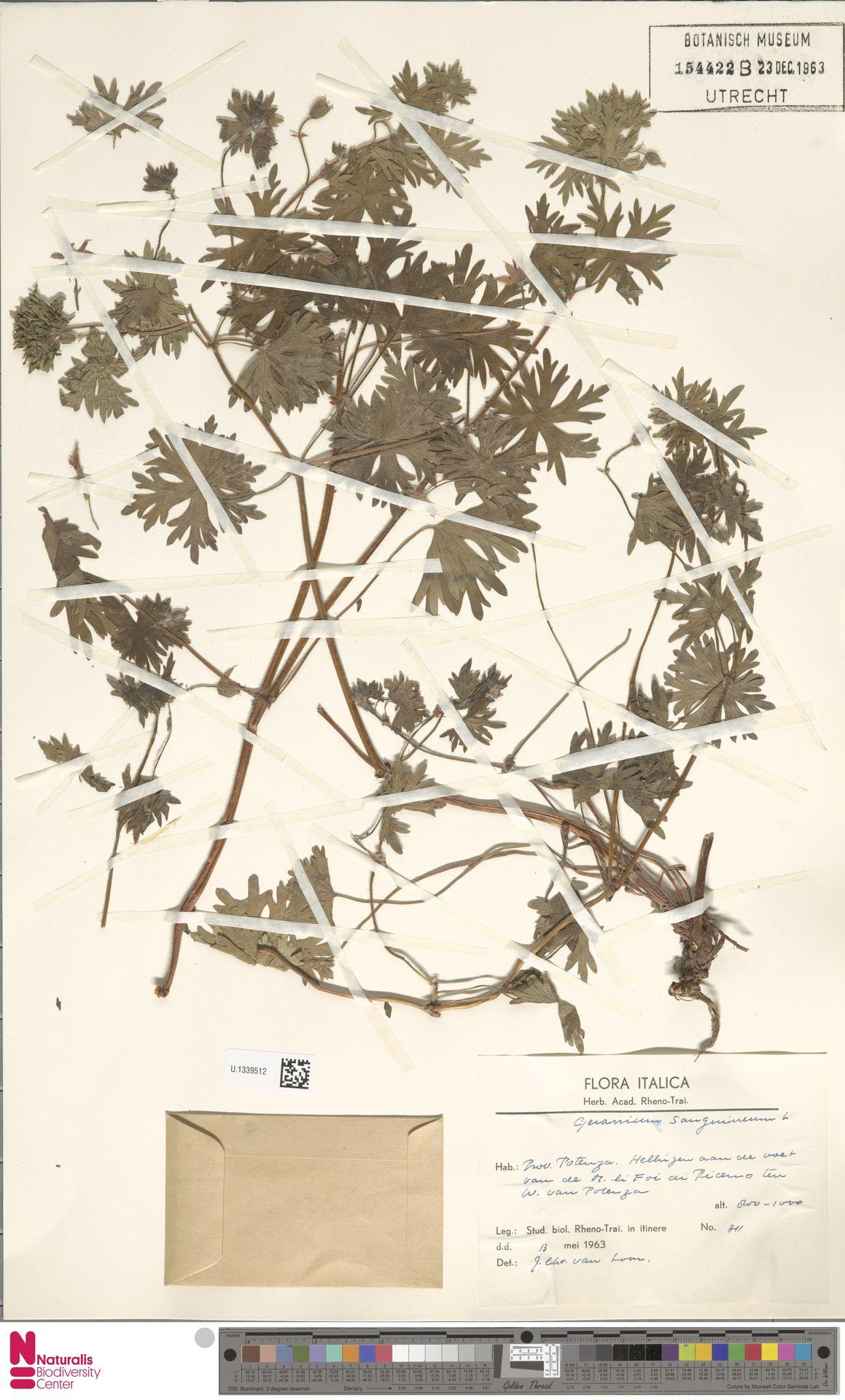 U.1339512 | Geranium sanguineum L.