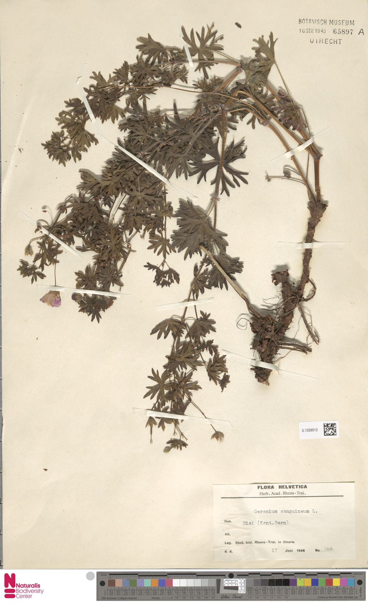 U.1339513   Geranium sanguineum L.