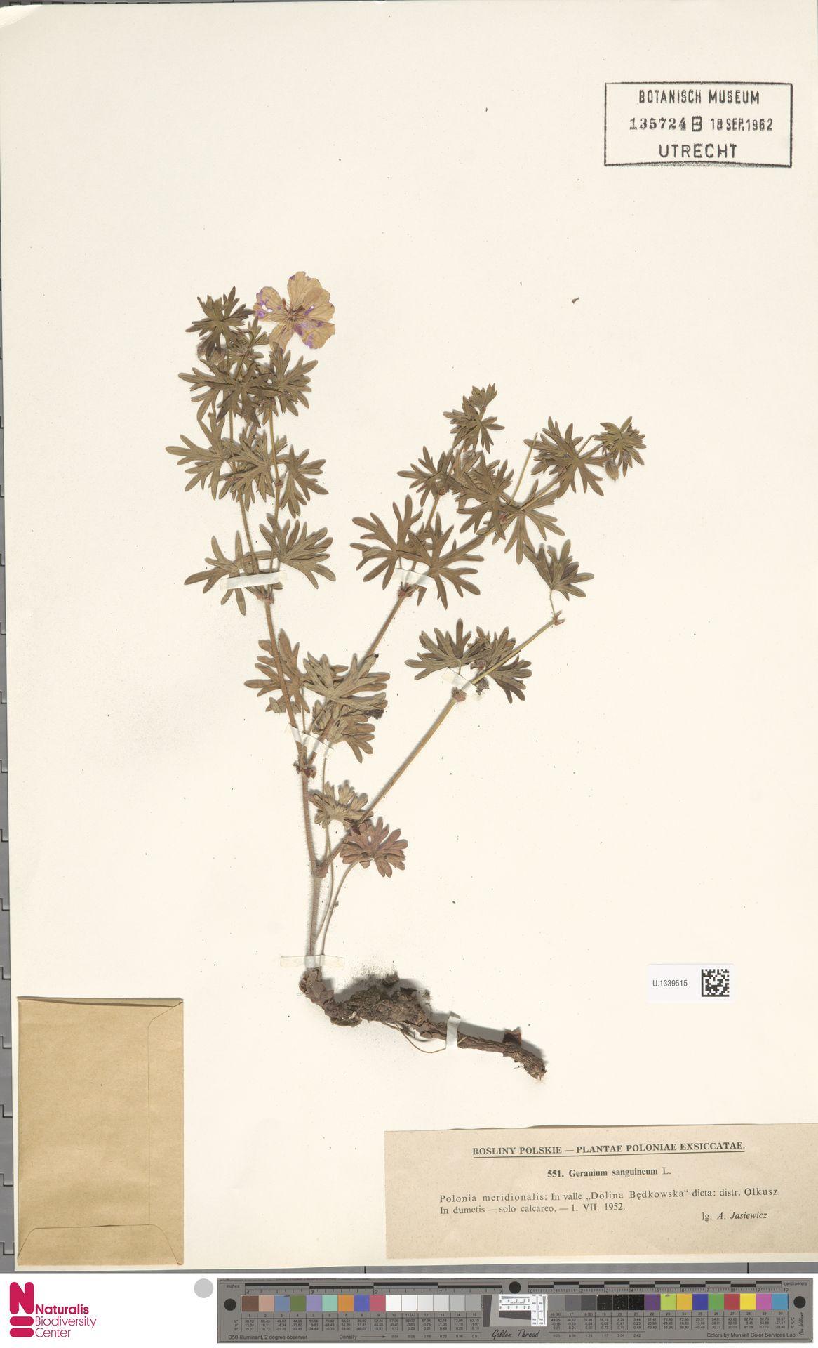 U.1339515   Geranium sanguineum L.