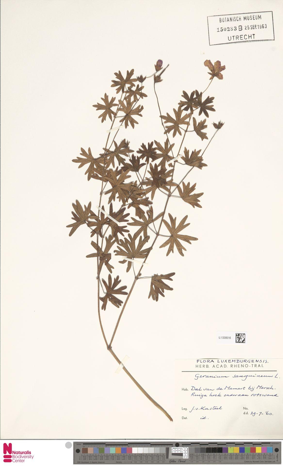 U.1339516 | Geranium sanguineum L.