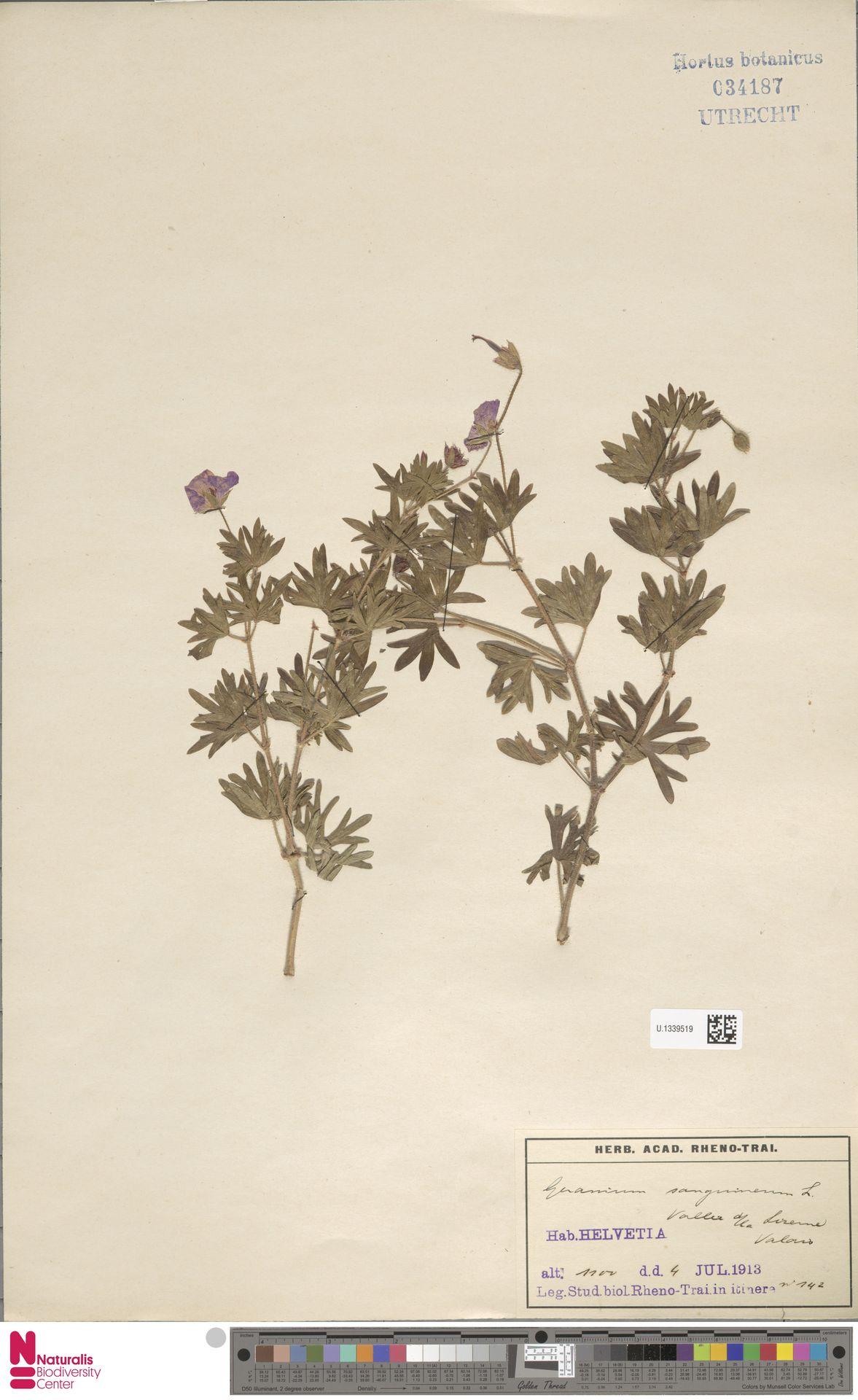 U.1339519 | Geranium sanguineum L.