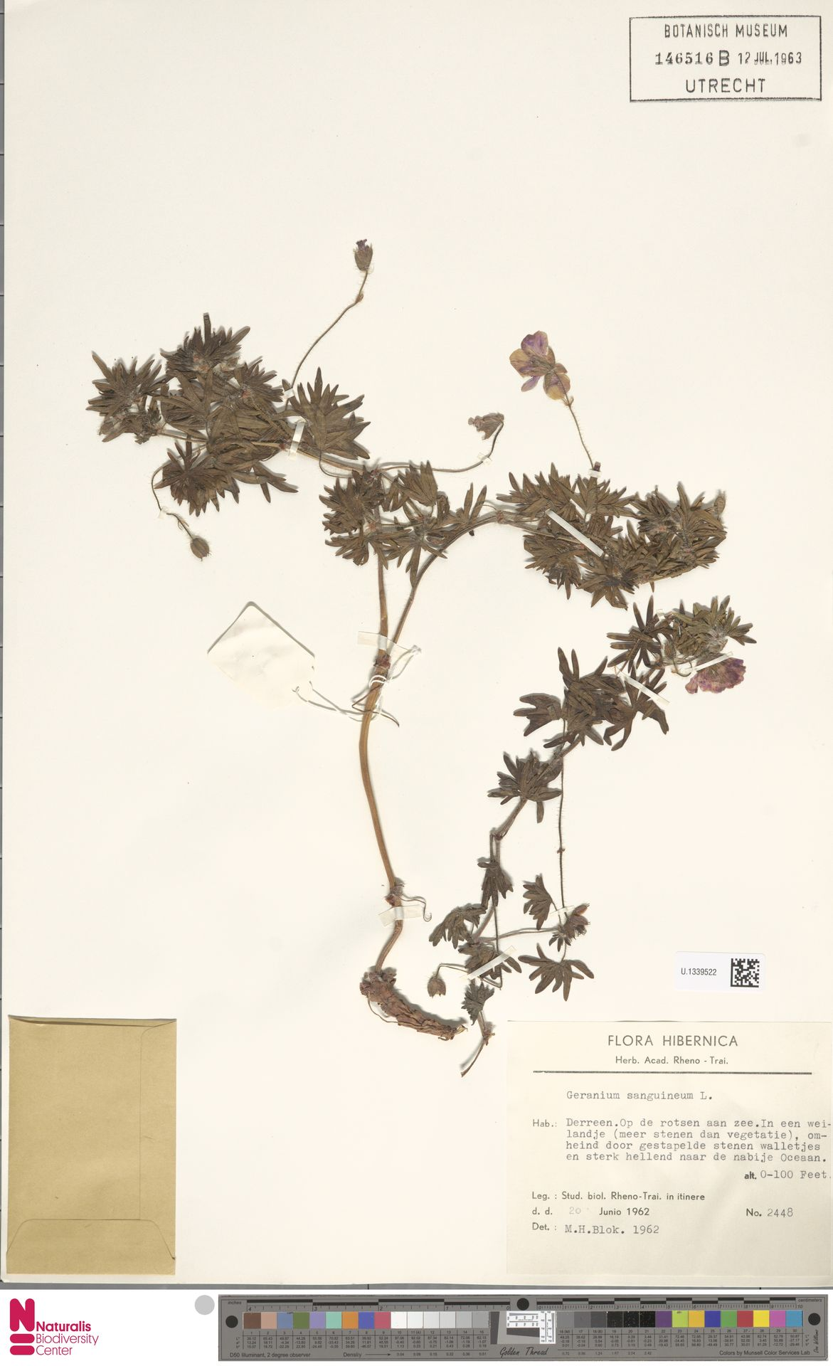 U.1339522 | Geranium sanguineum L.