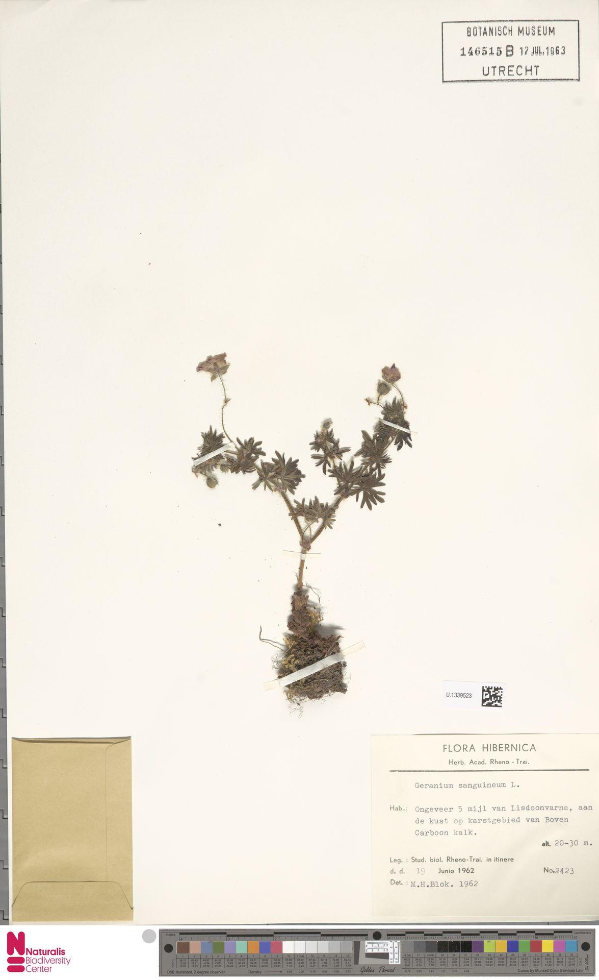 U.1339523 | Geranium sanguineum L.