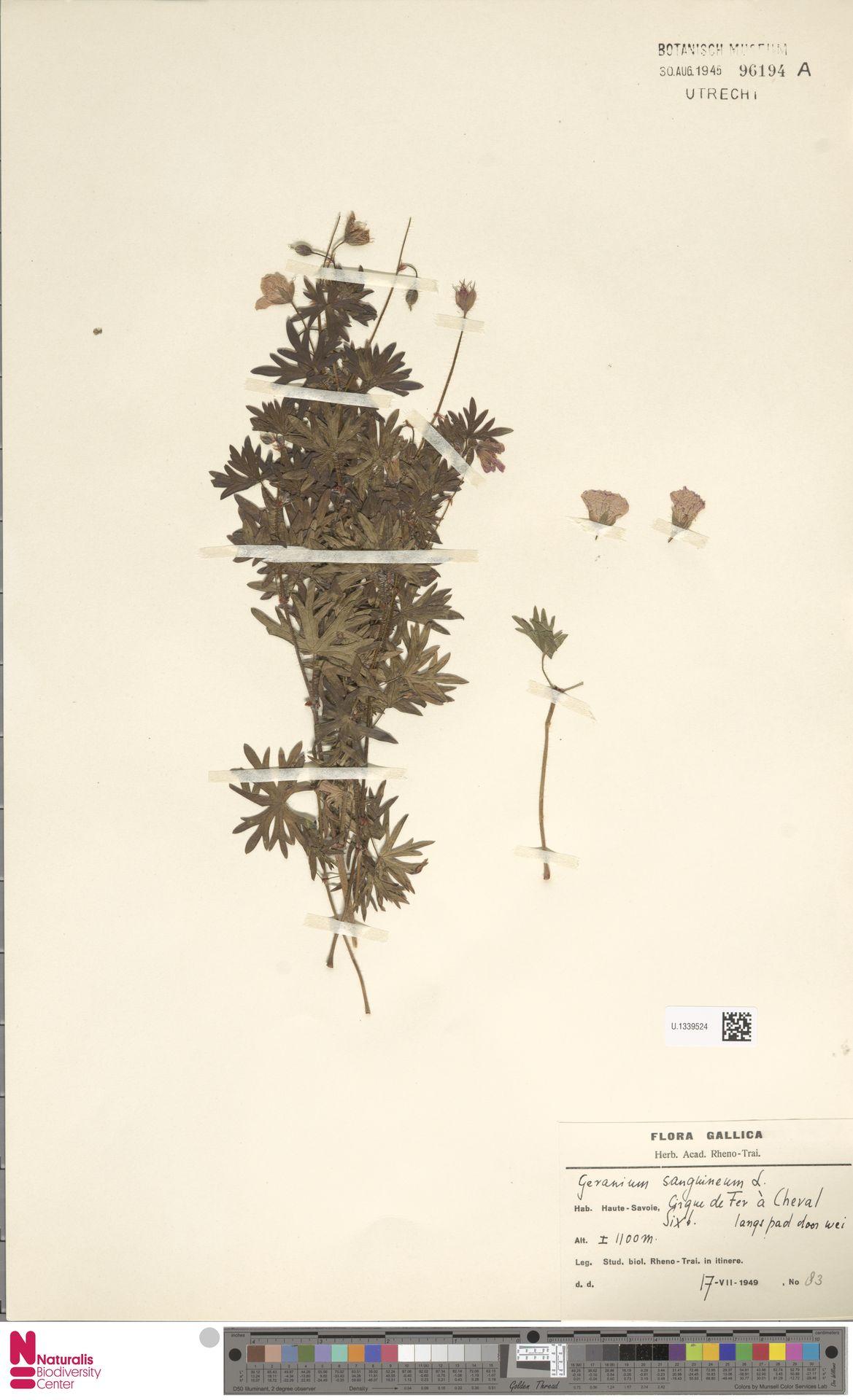 U.1339524 | Geranium sanguineum L.