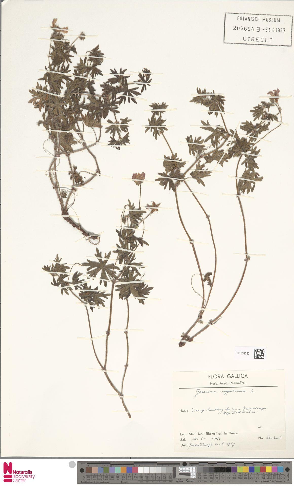 U.1339525 | Geranium sanguineum L.