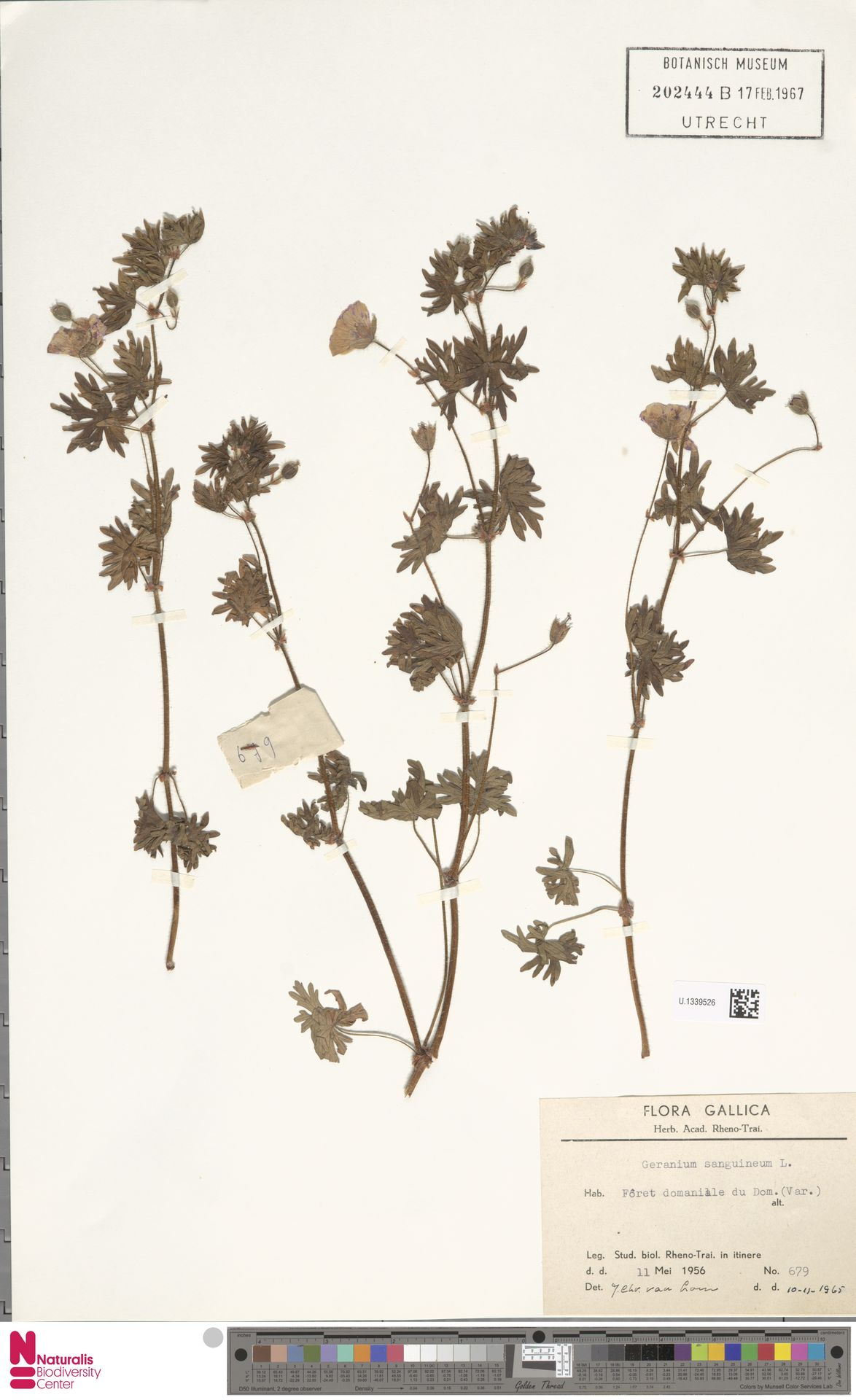 U.1339526   Geranium sanguineum L.