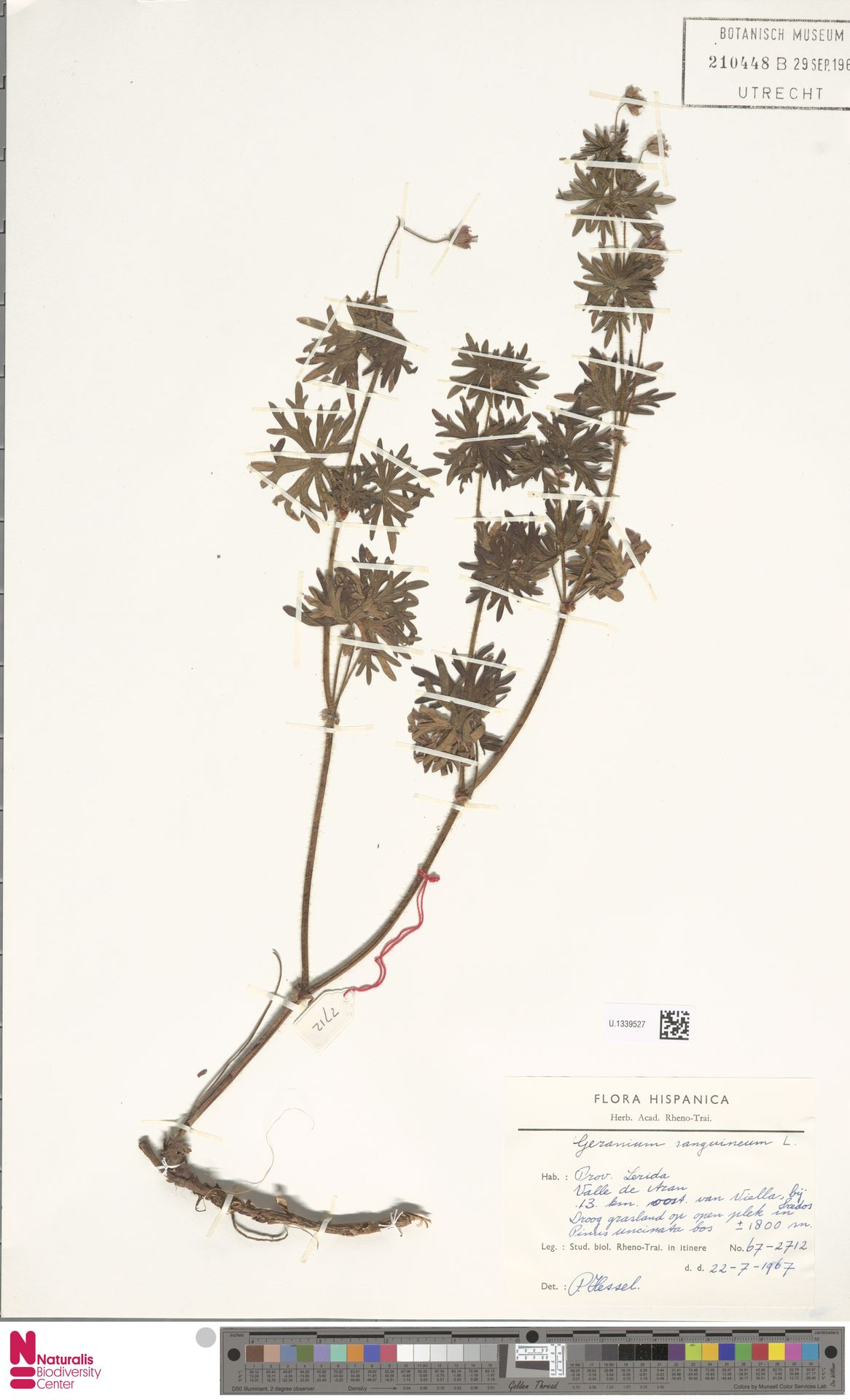 U.1339527   Geranium sanguineum L.