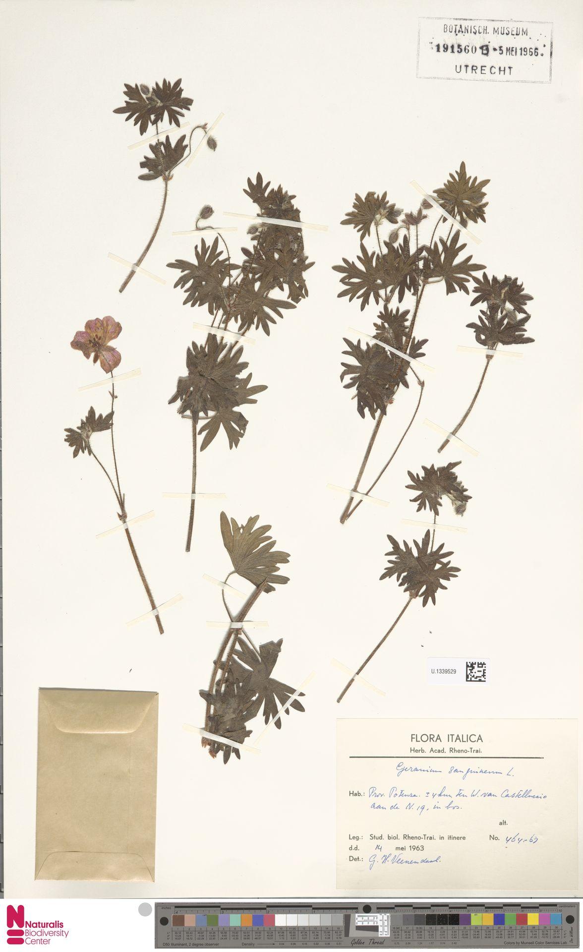 U.1339529   Geranium sanguineum L.