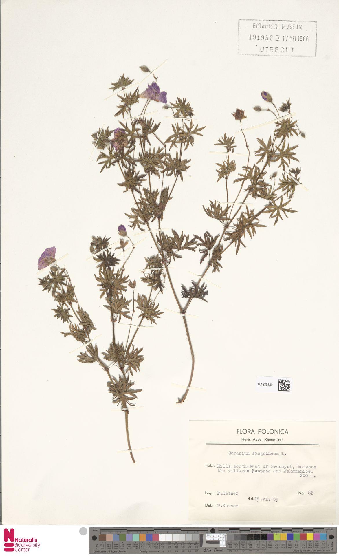 U.1339530 | Geranium sanguineum L.