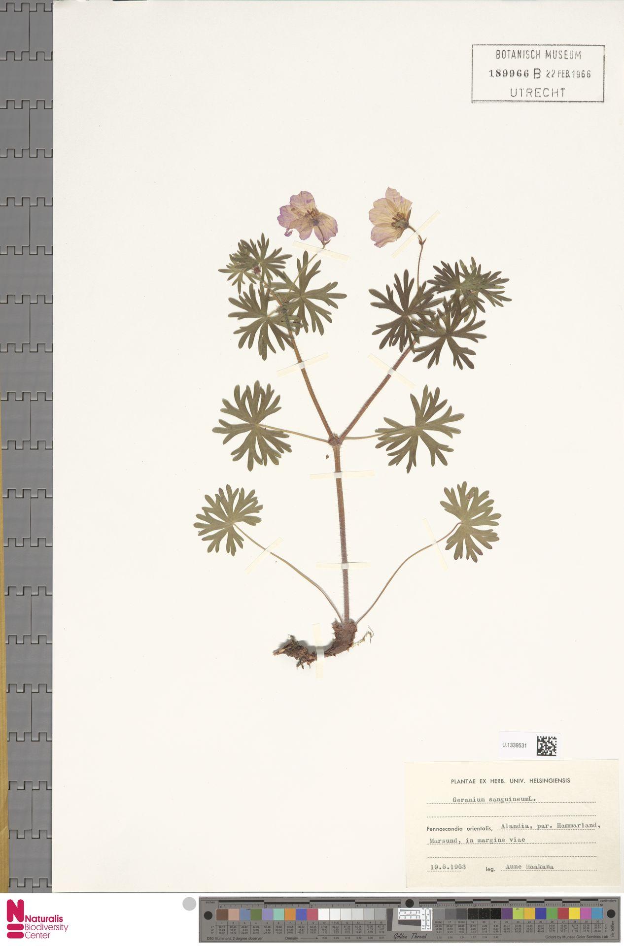 U.1339531 | Geranium sanguineum L.