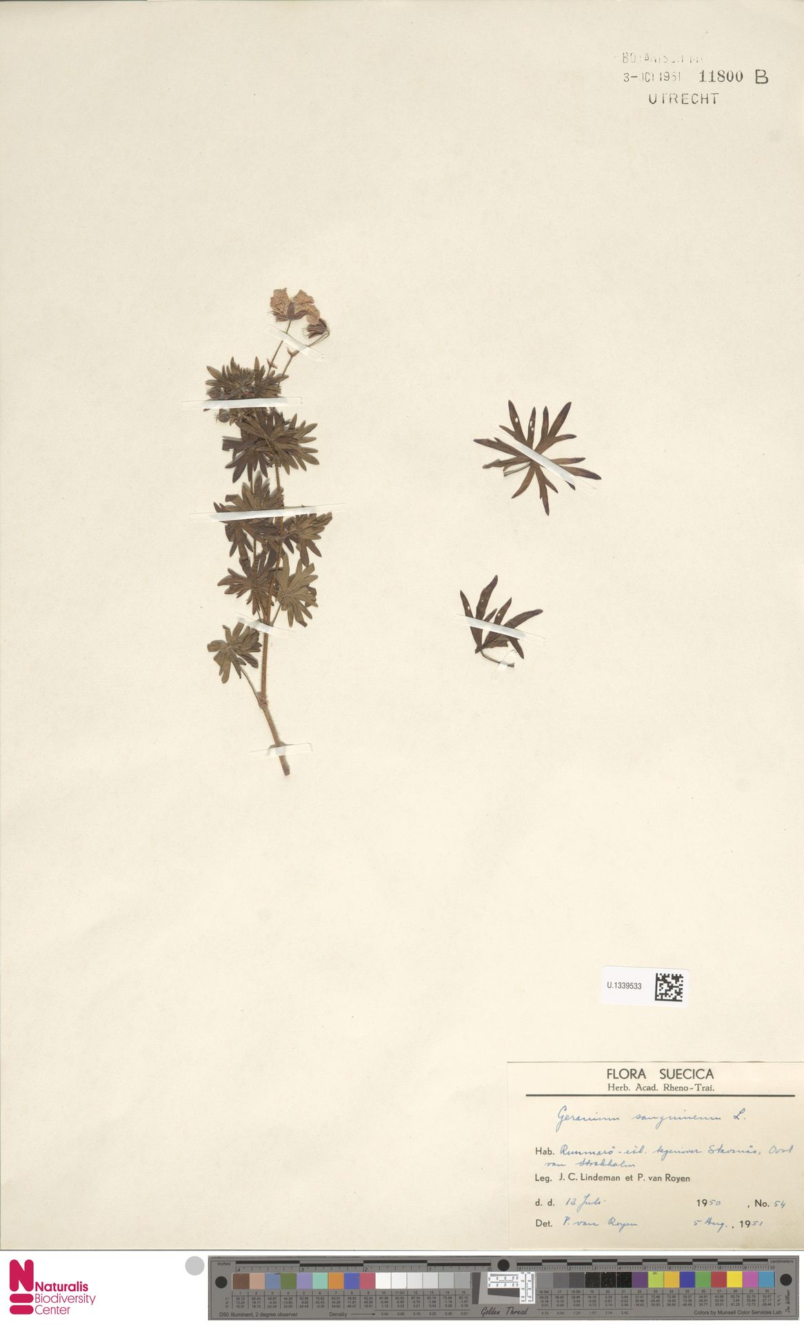 U.1339533 | Geranium sanguineum L.