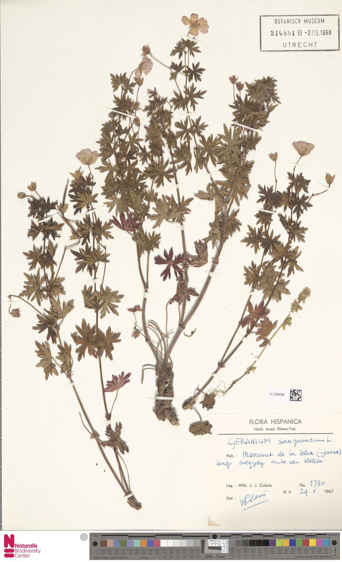 U.1339536 | Geranium sanguineum L.