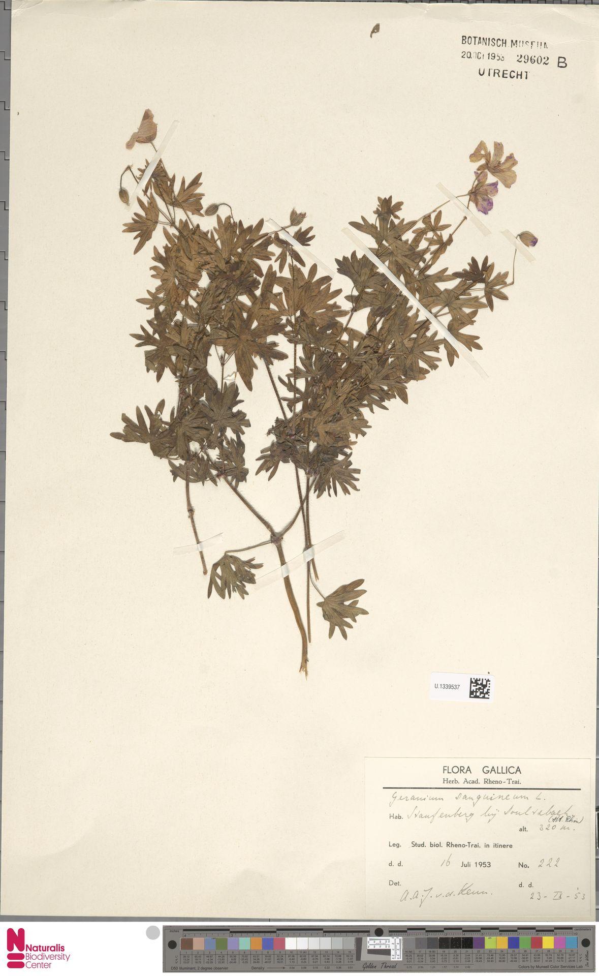 U.1339537 | Geranium sanguineum L.